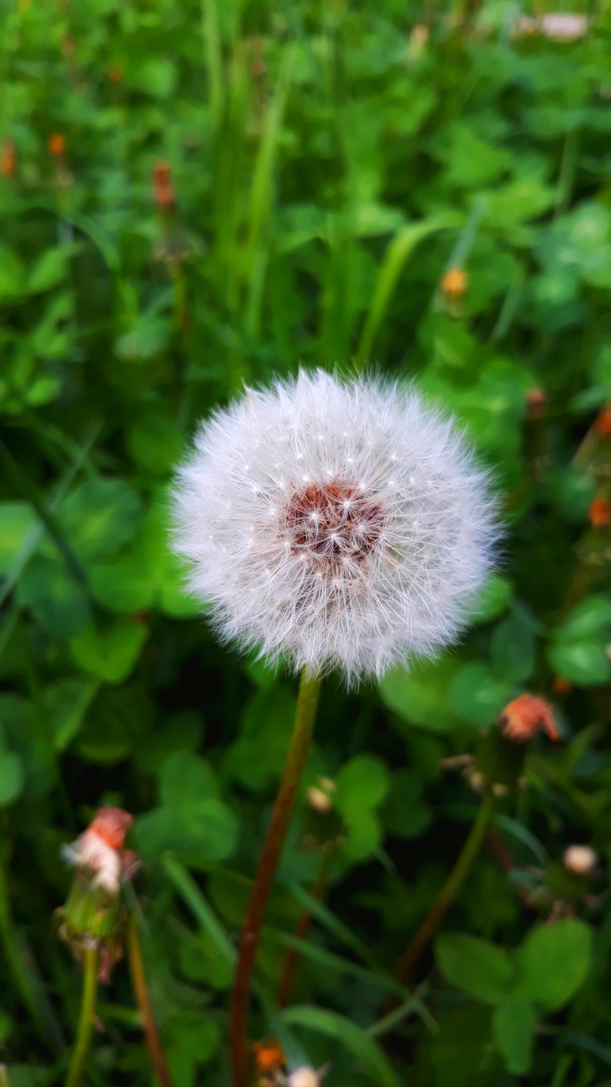 nature dandelion green background 1622253