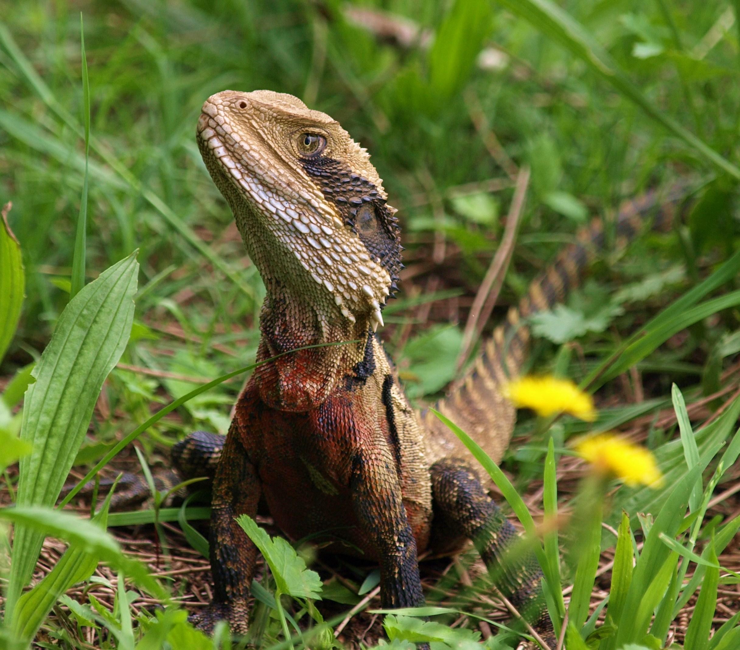 дракон ящерица фото технологию дают