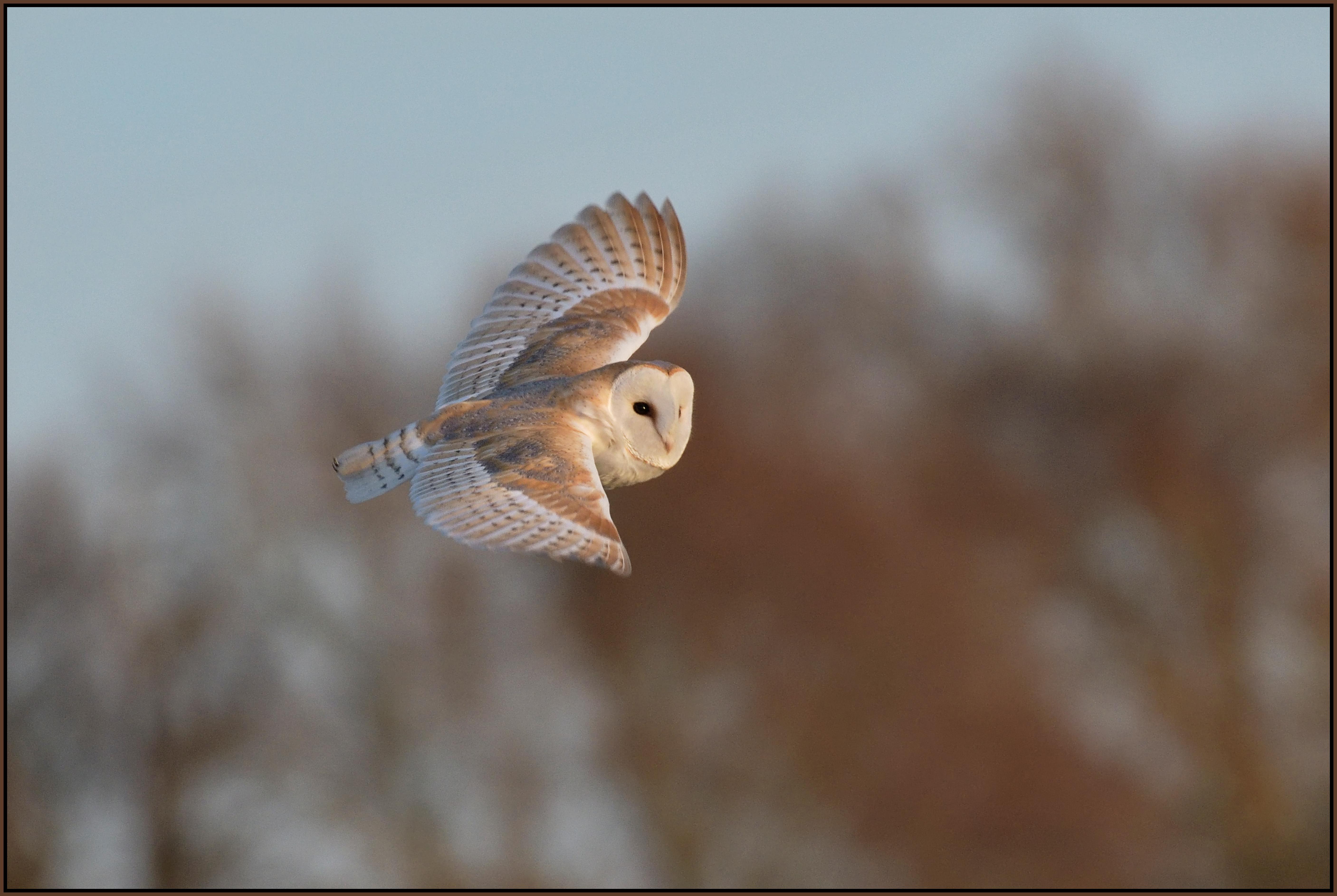 Wallpaper : nature, flying, wildlife, bird of prey, barn ...