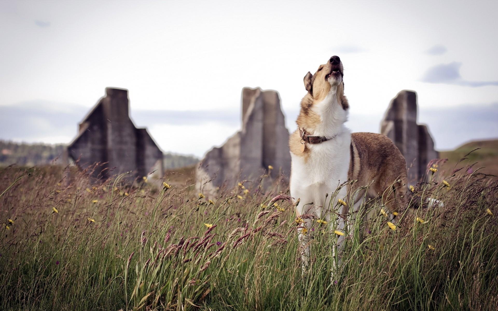 Воющая собака картинка
