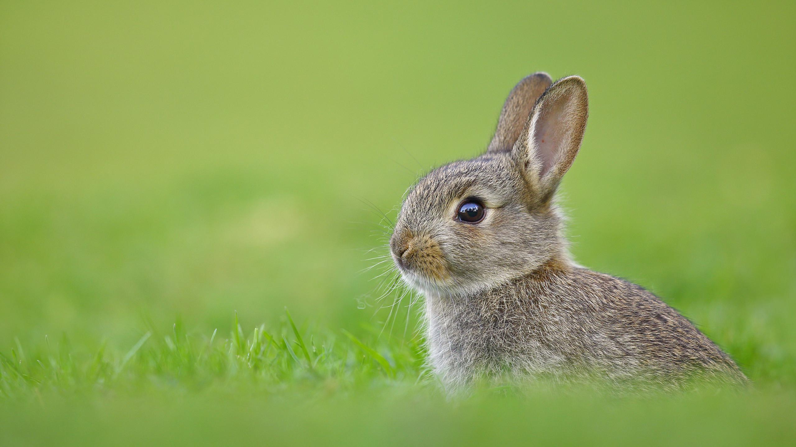 デスクトップ壁紙 自然 緑 野生動物 ウィスカー 野ウサギ 動物