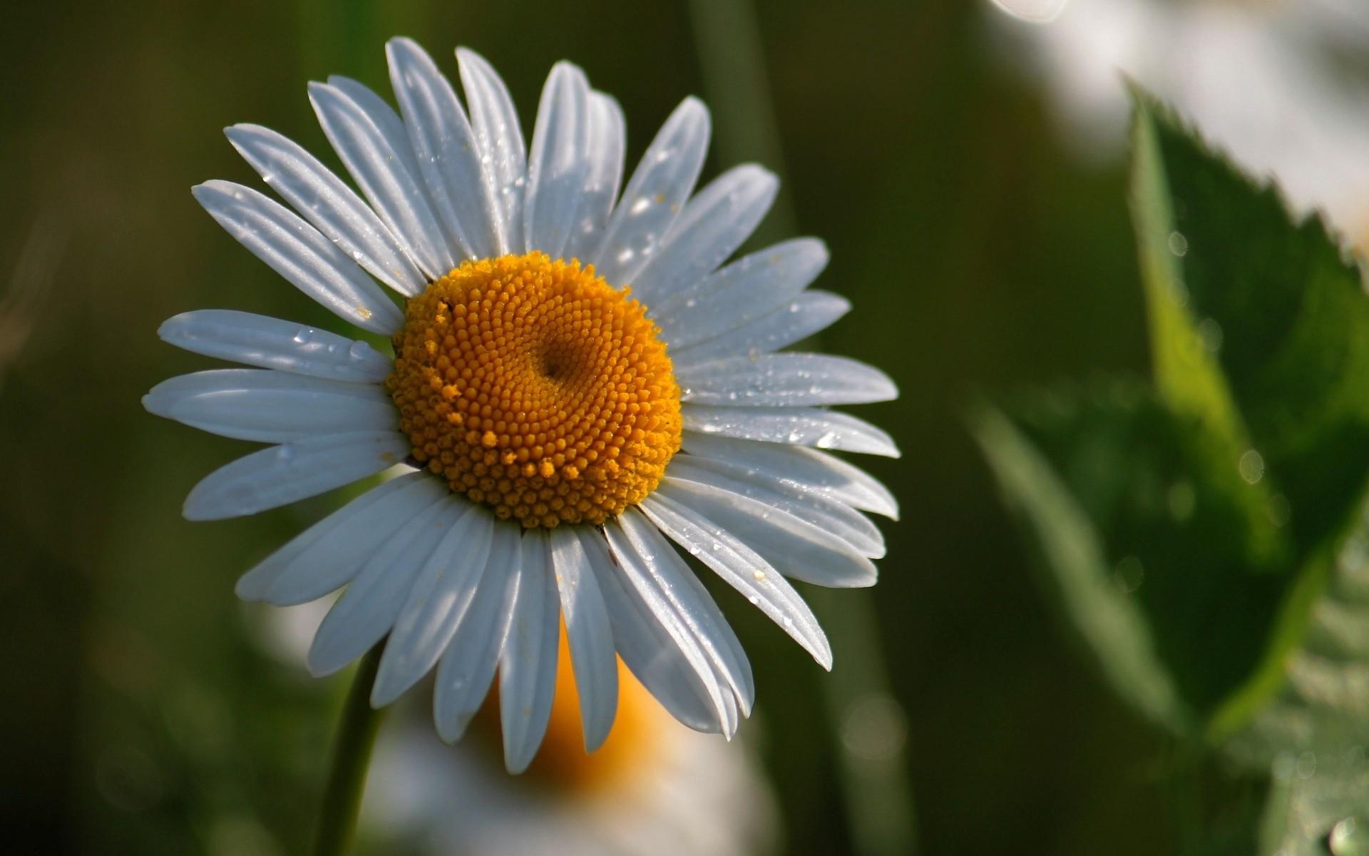 интересует публику фото цветка ромашки комплекс памяти
