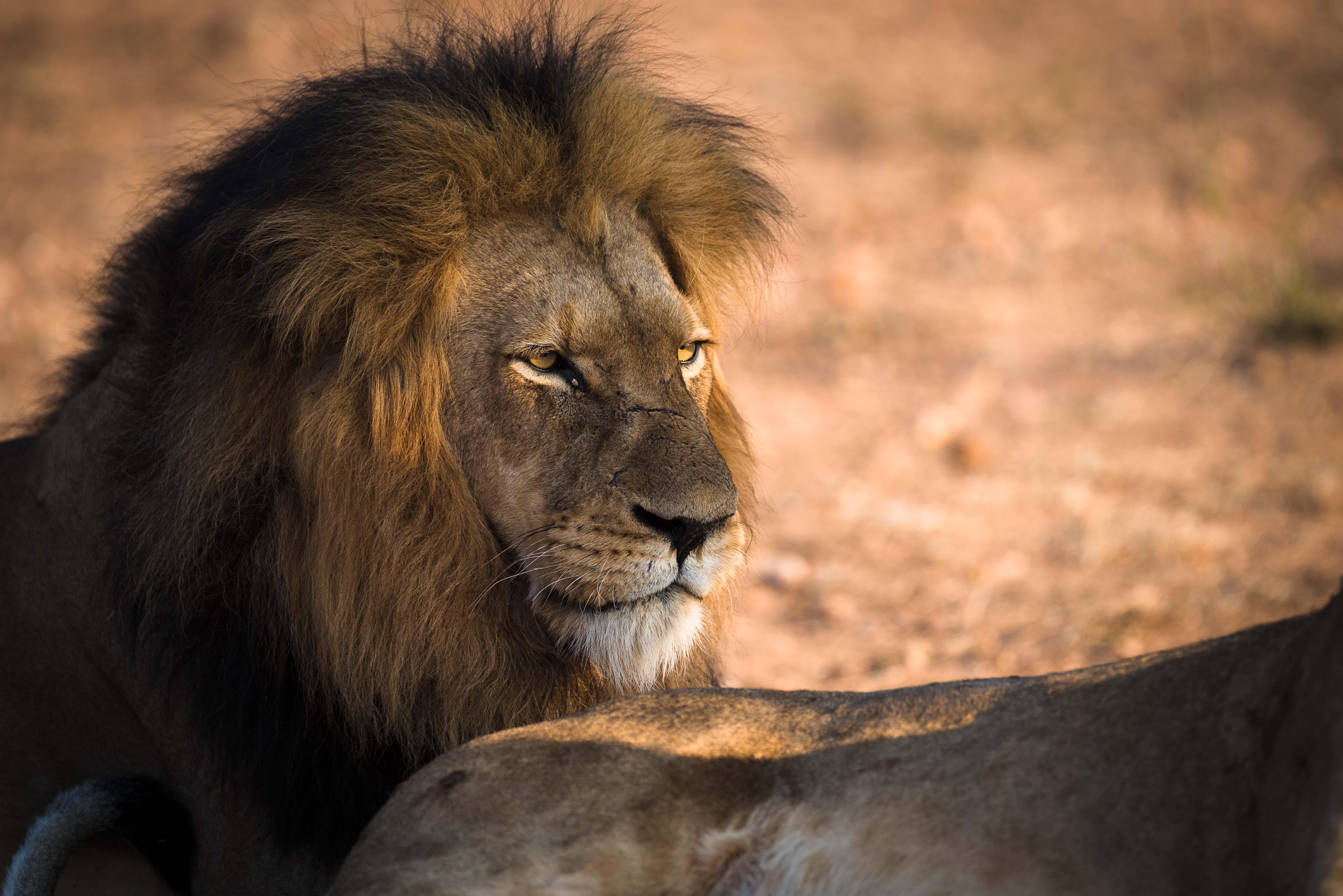 Sfondi natura leone africa nikon pelliccia grandi for Sfondi leone