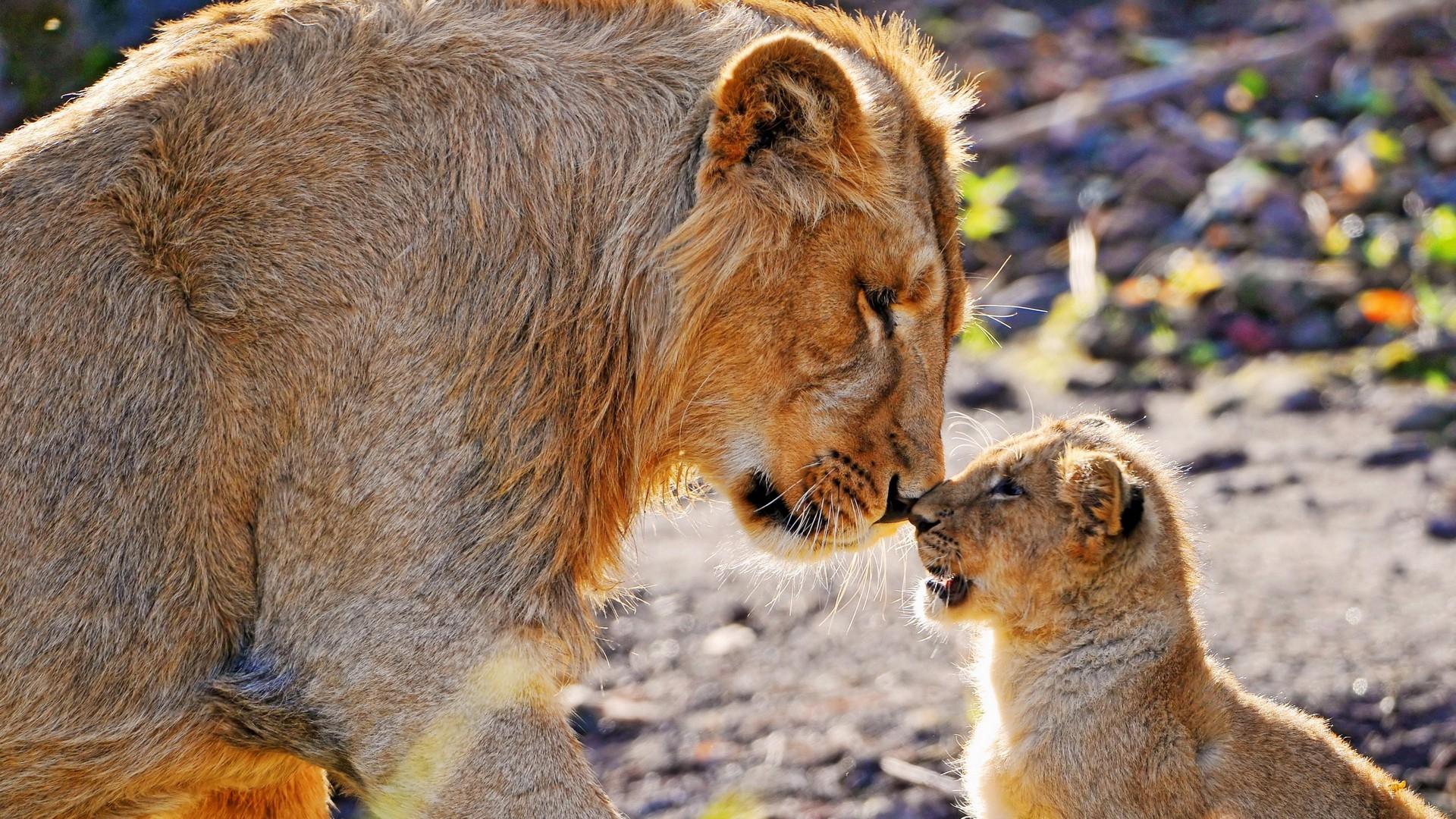 wallpaper : nature, lion, wildlife, big cats, zoo, safari, tender