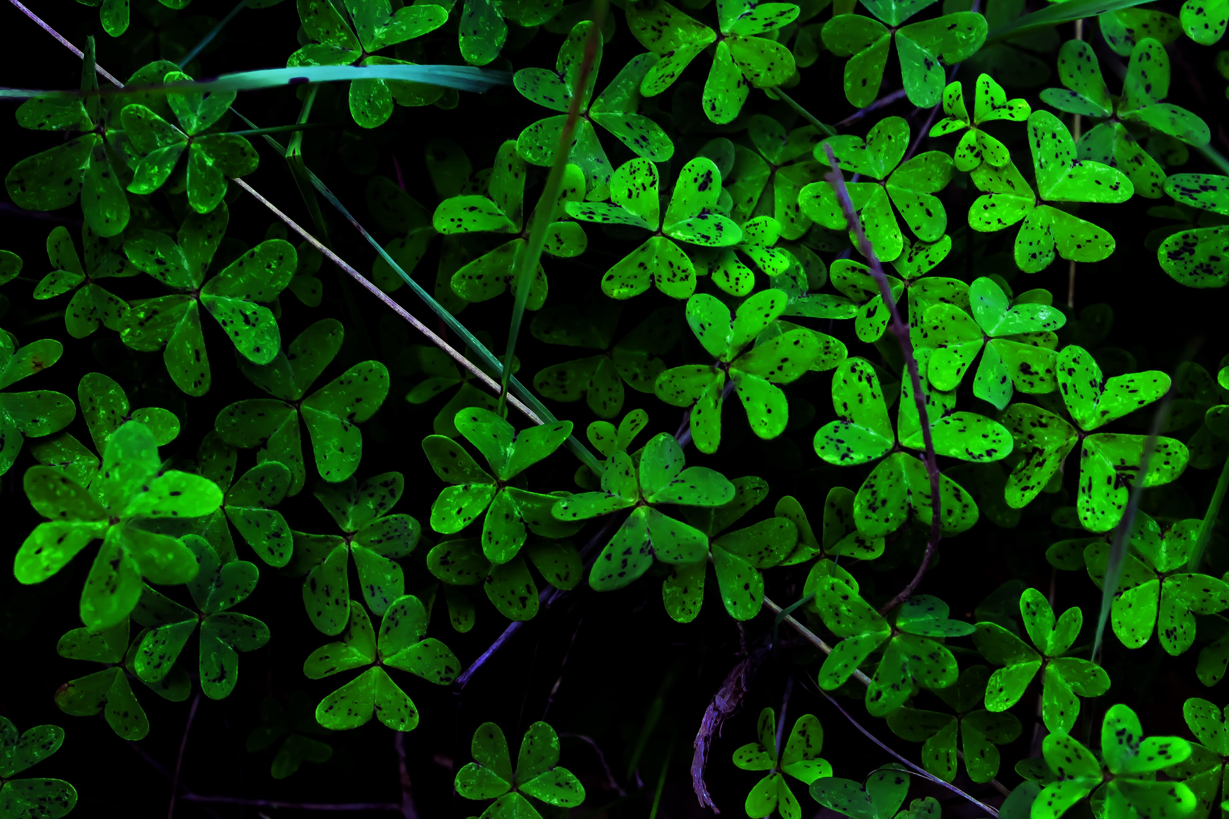 デスクトップ壁紙 自然 緑 ハーブ 幸運を得る 葉 工場