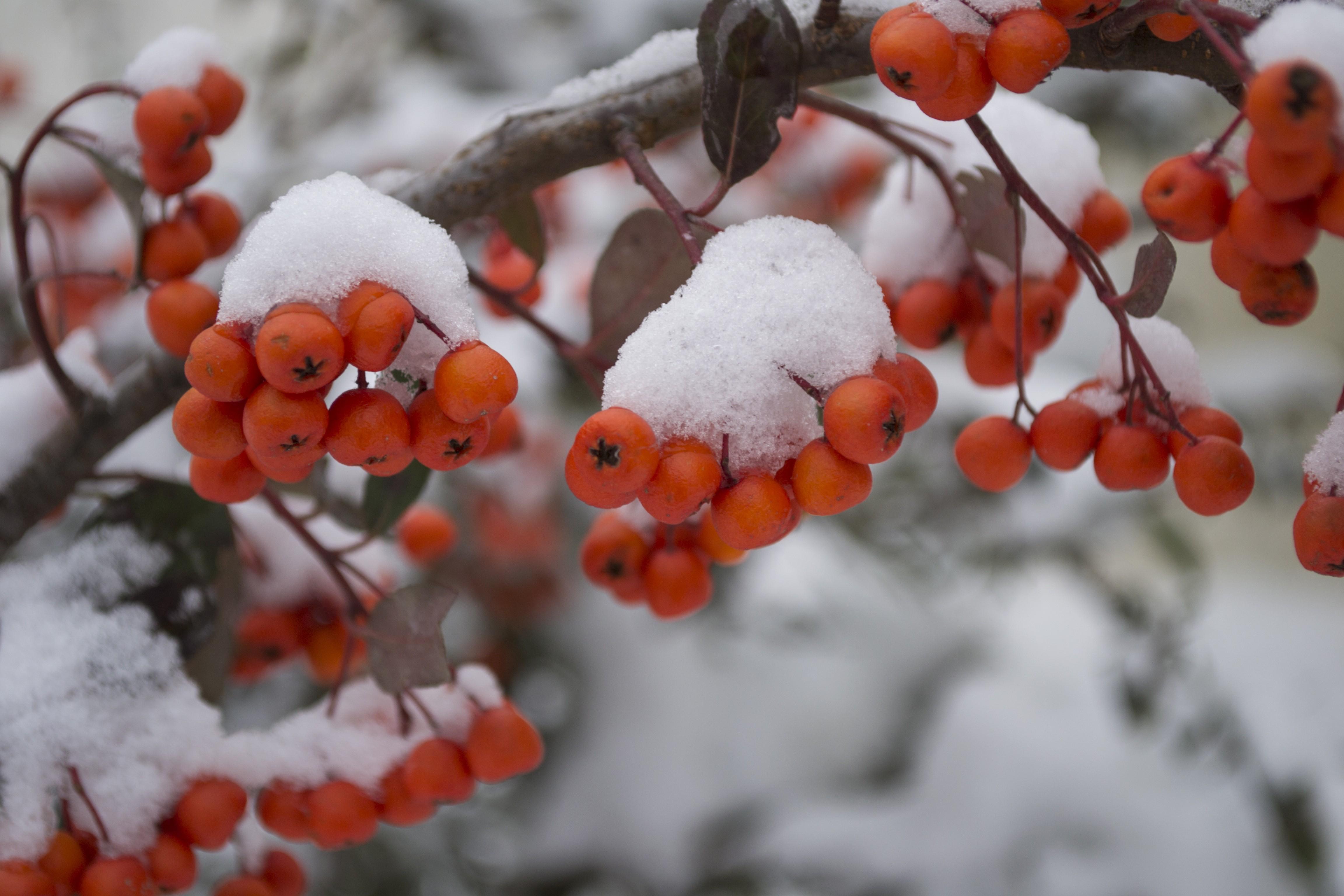 дерево рябины в снегу картинки аквариумную рыбку уверенностью