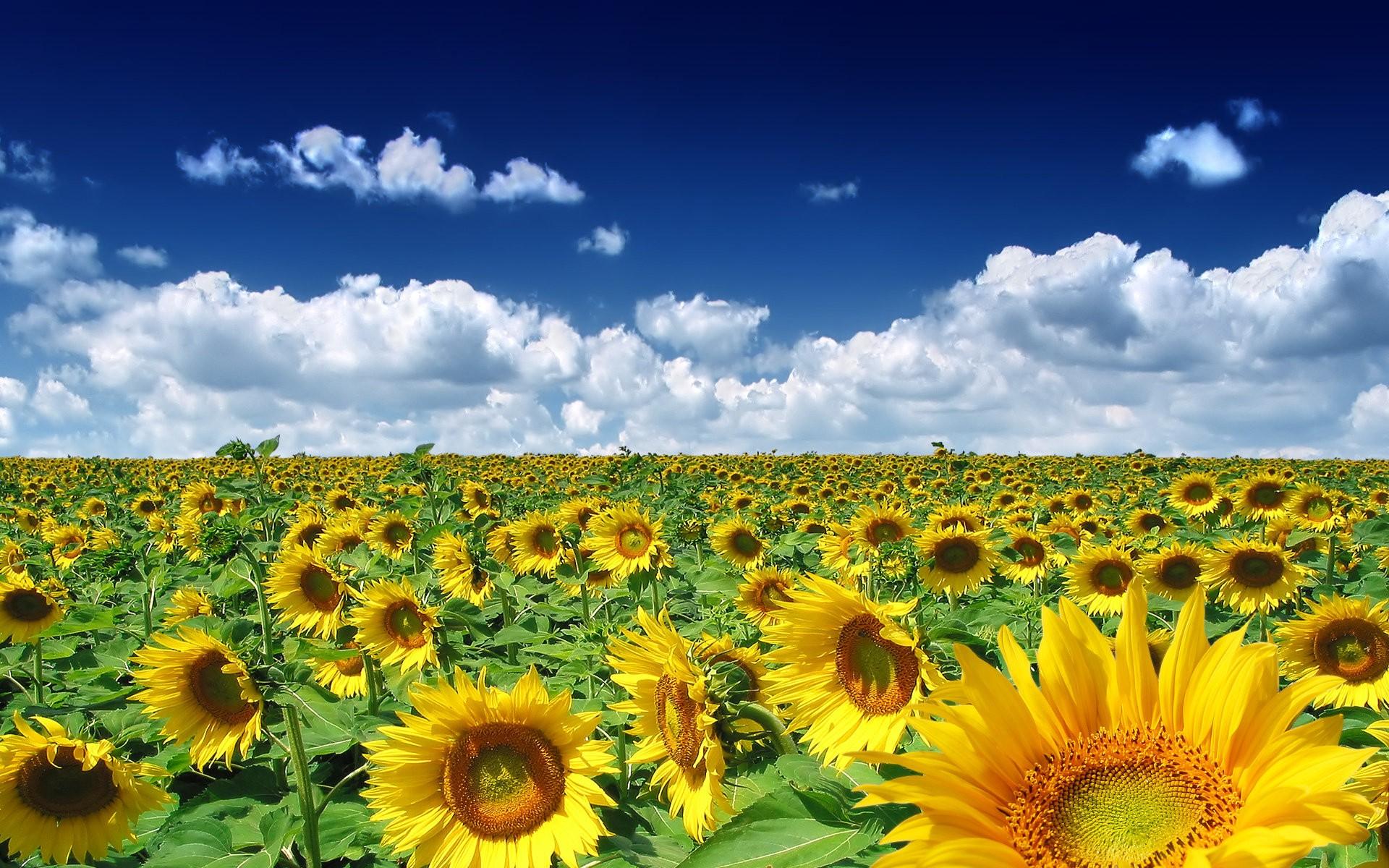 Download 97 Gambar Bunga Matahari Polos HD Paling Keren