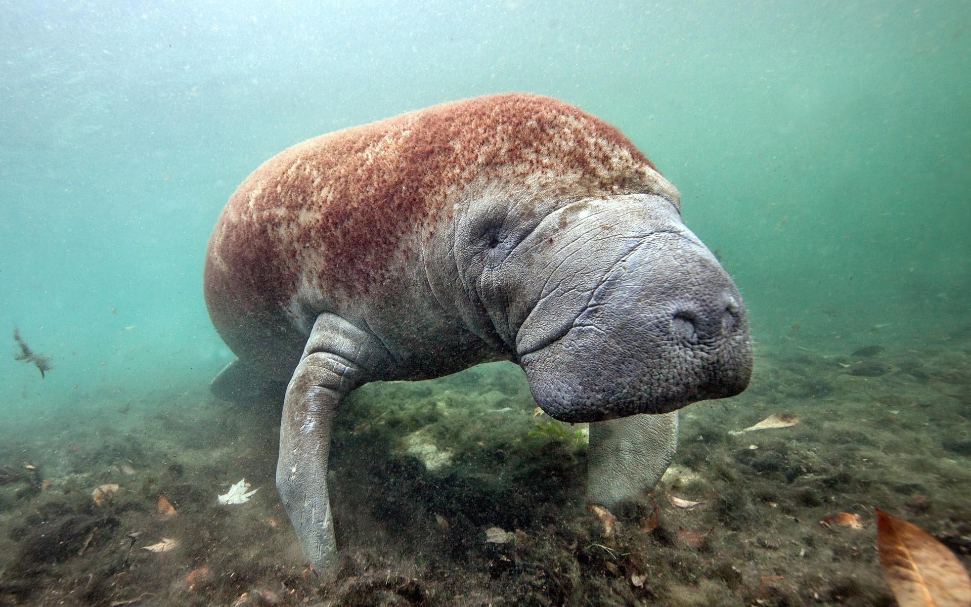 Морской ламантин фото