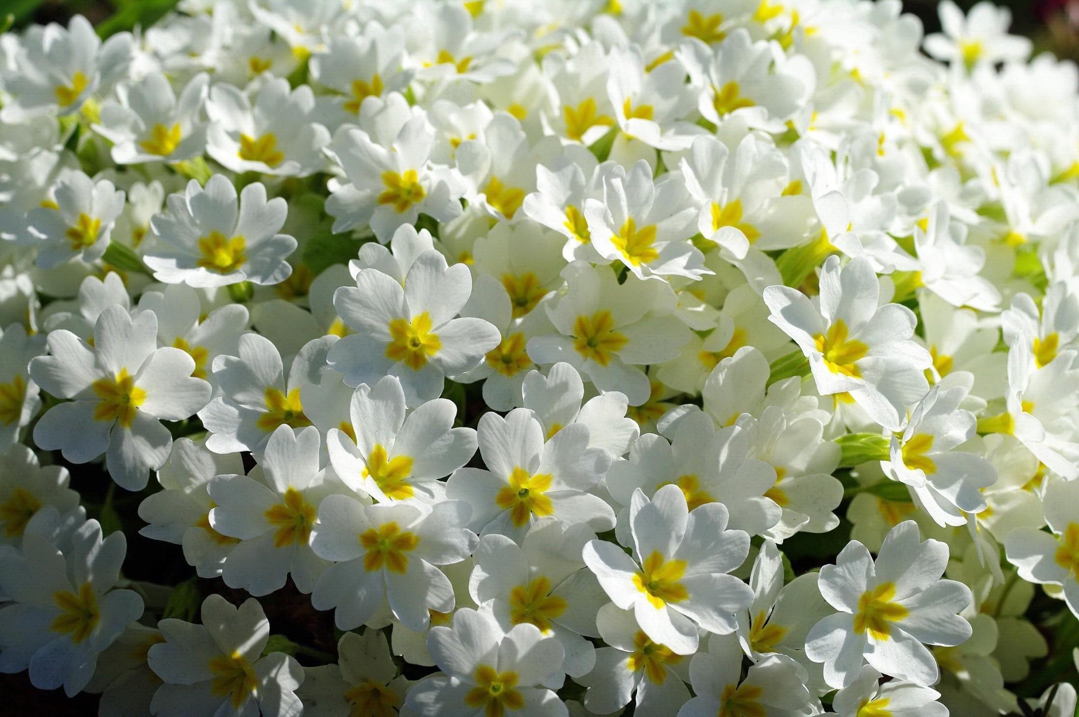 Wallpaper Nature Yellow Blossom Jasmine Flower Narcissus