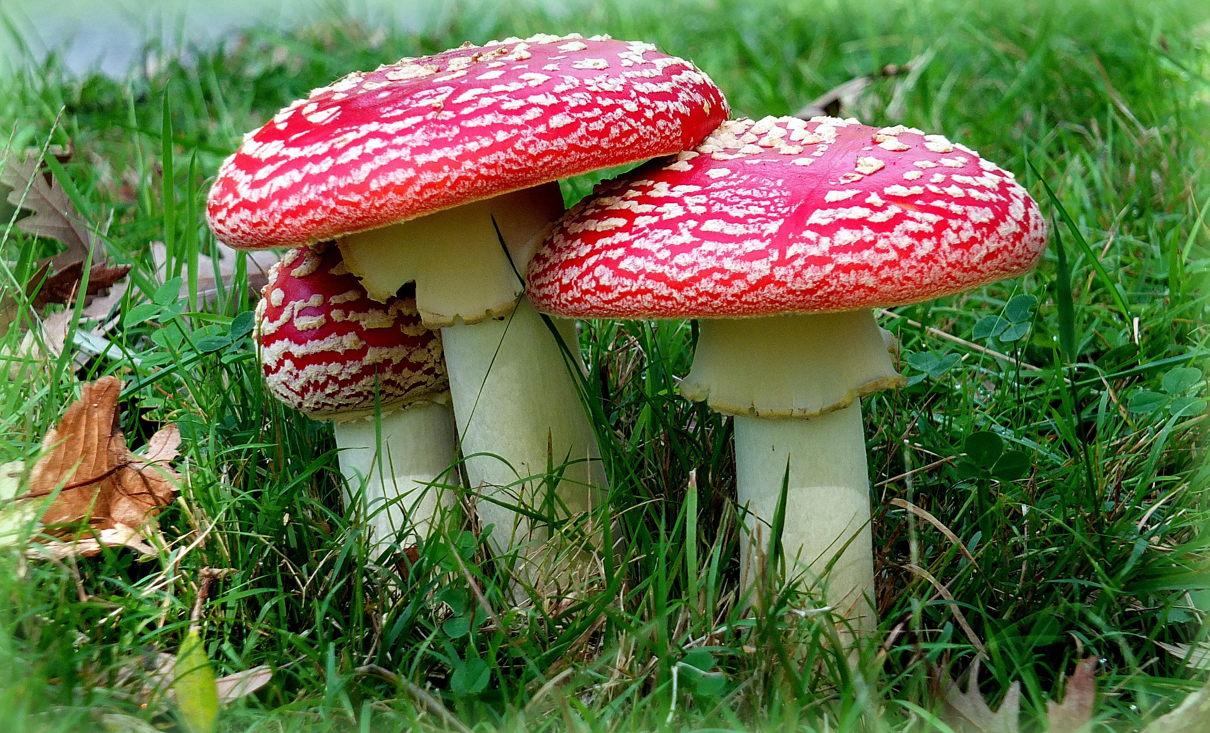 картинки грибов мухомор поганка крупные линзы