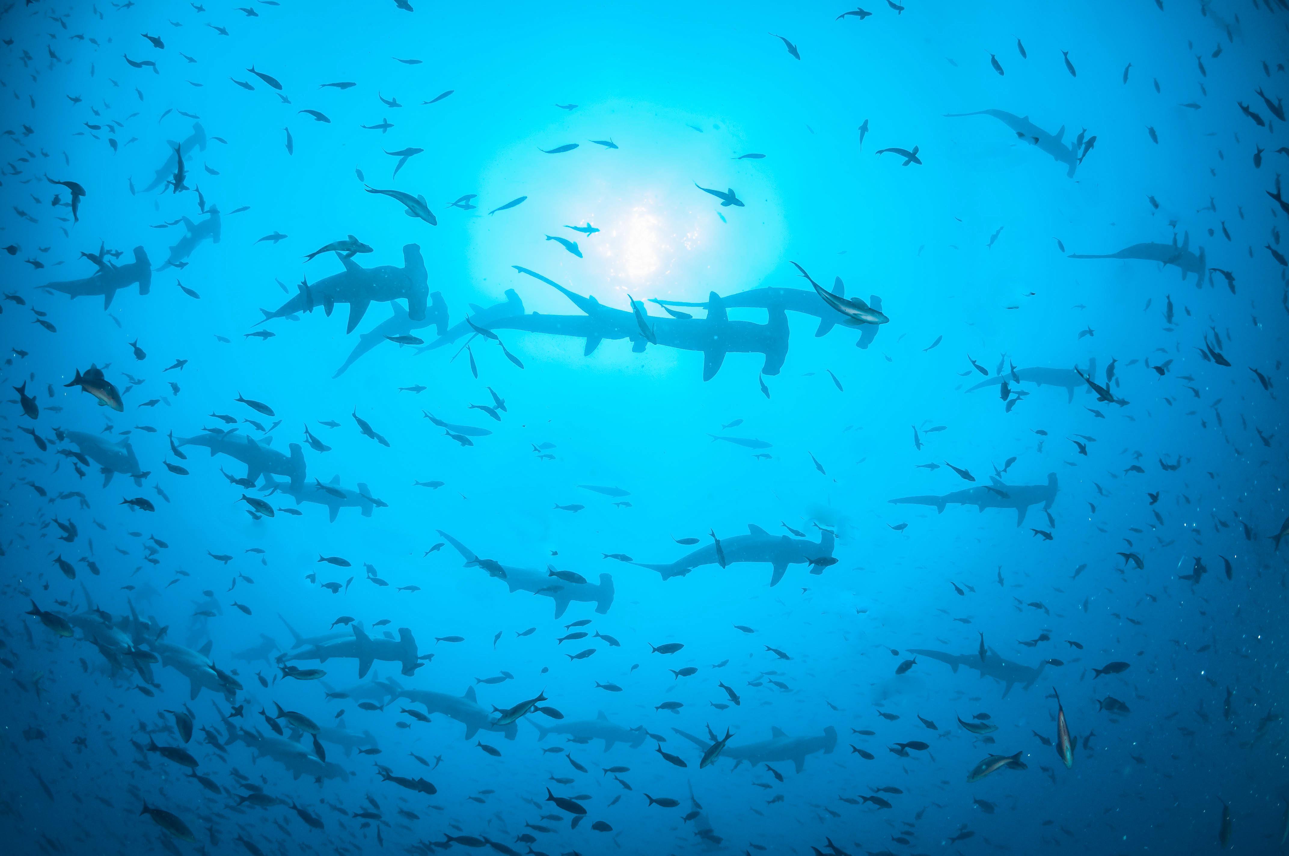 Wallpaper Ocean School Sea Fish Water Shark Ecuador Underwater Scuba Diving Galapagos Adventure Predator Adrenaline Equator Hammerhead 4288x2848 938734 Hd Wallpapers Wallhere
