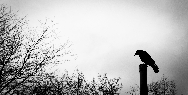 Fond d 39 cran oiseau corbeau corbeau ombre lumiere for Oiseau gris et blanc