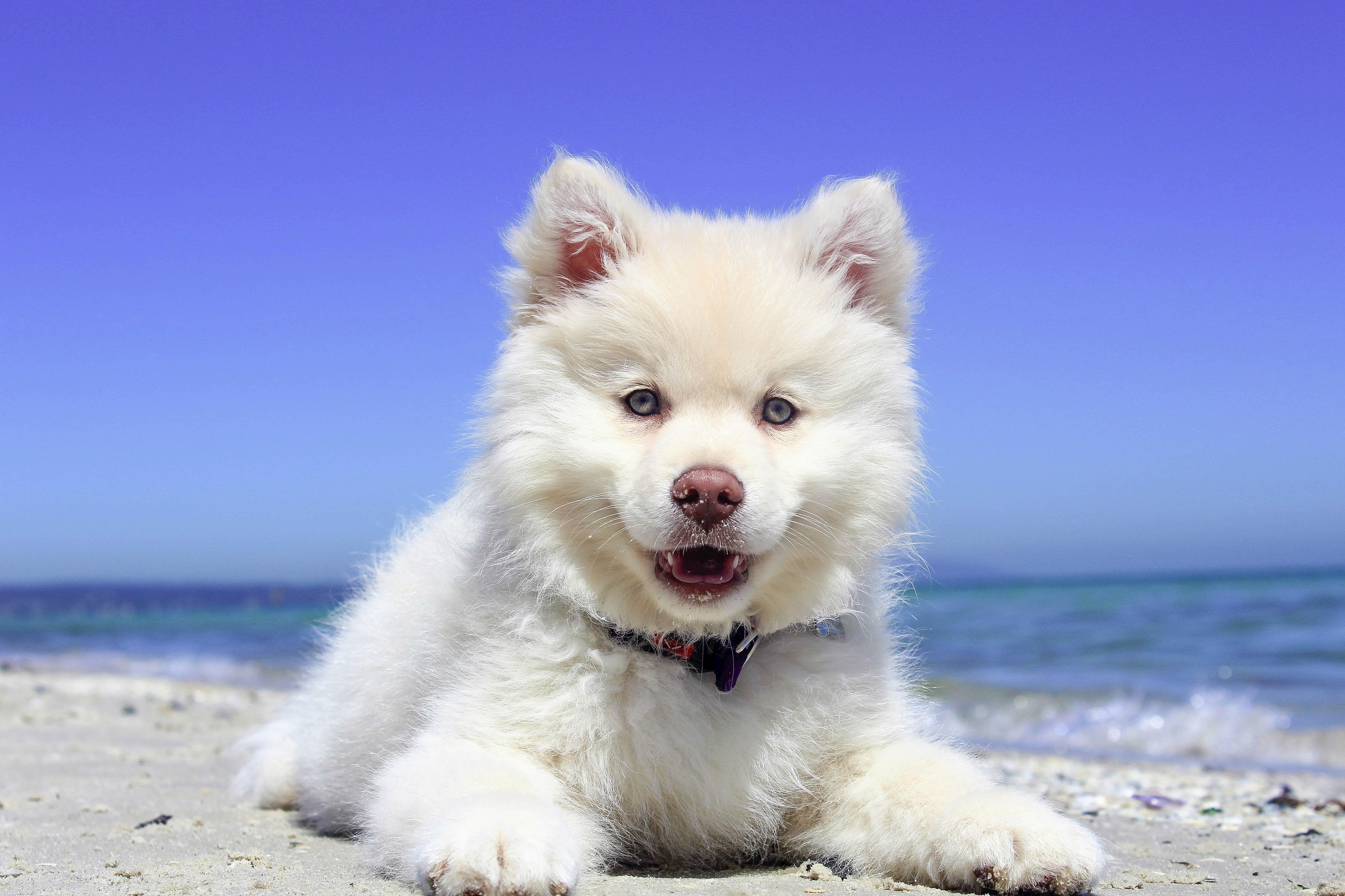 Wallpaper Open Mouth Pomeranian Puppy Lying Vertebrate Dog