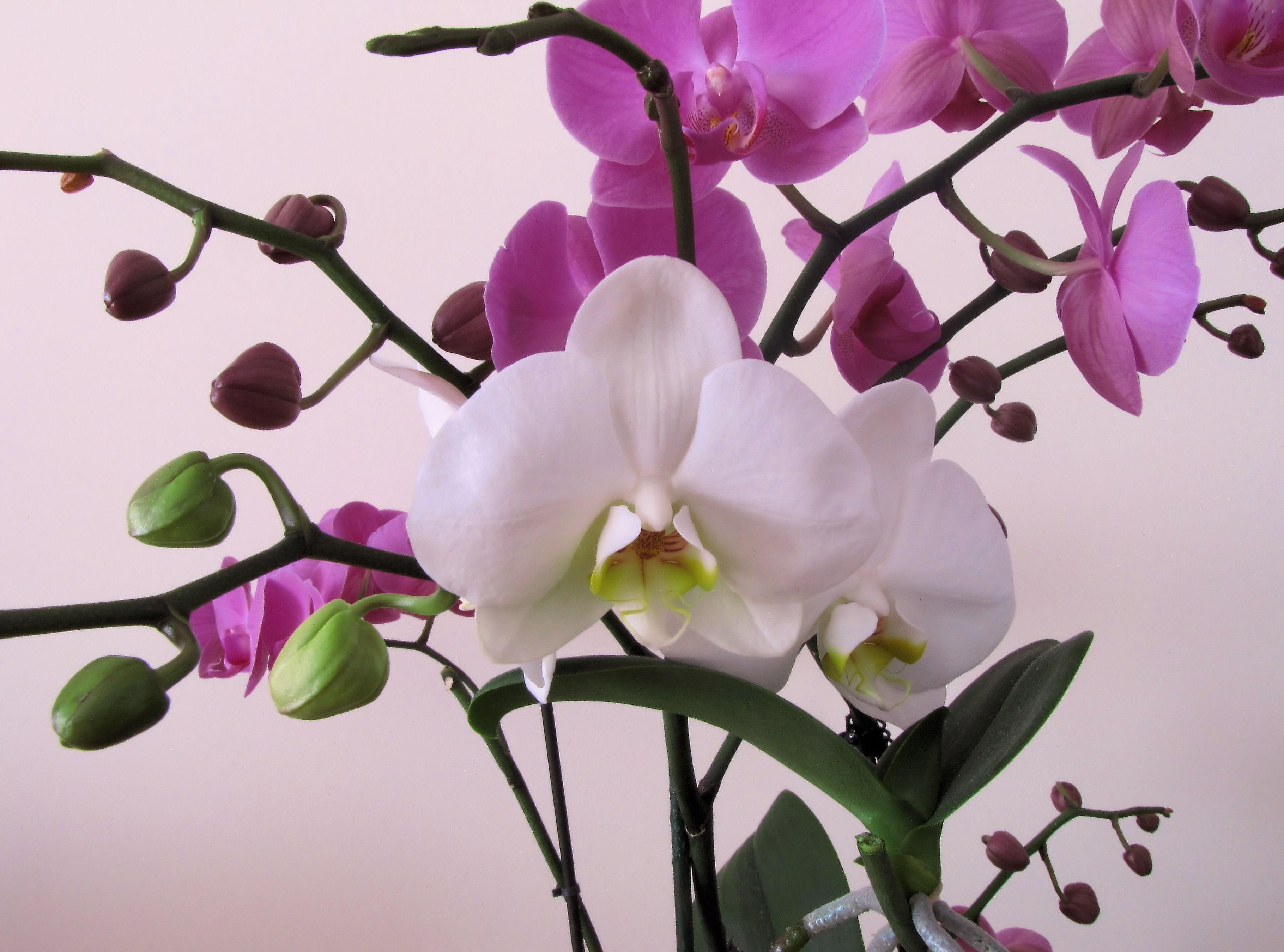 foto de Fond d'écran : orchidée, fleur, branche, fermer 3640x2700 ...
