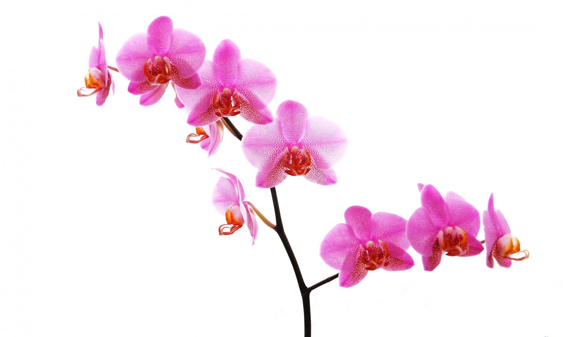 Hintergrundbilder orchidee blume zweig rosa - White orchid flowers desktop wallpapers ...