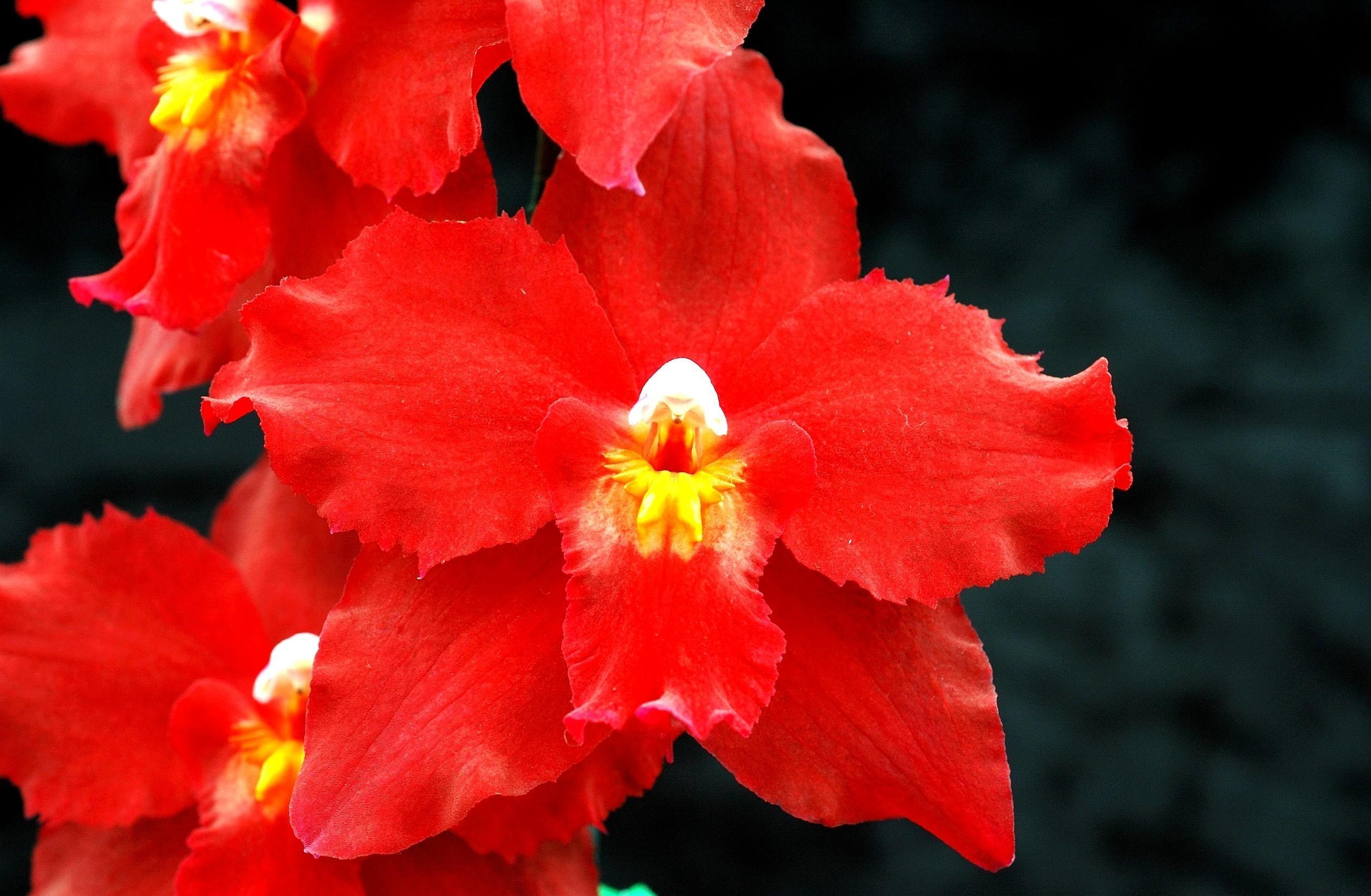 что орхидеи красного цвета картинки бантики делают маникюр