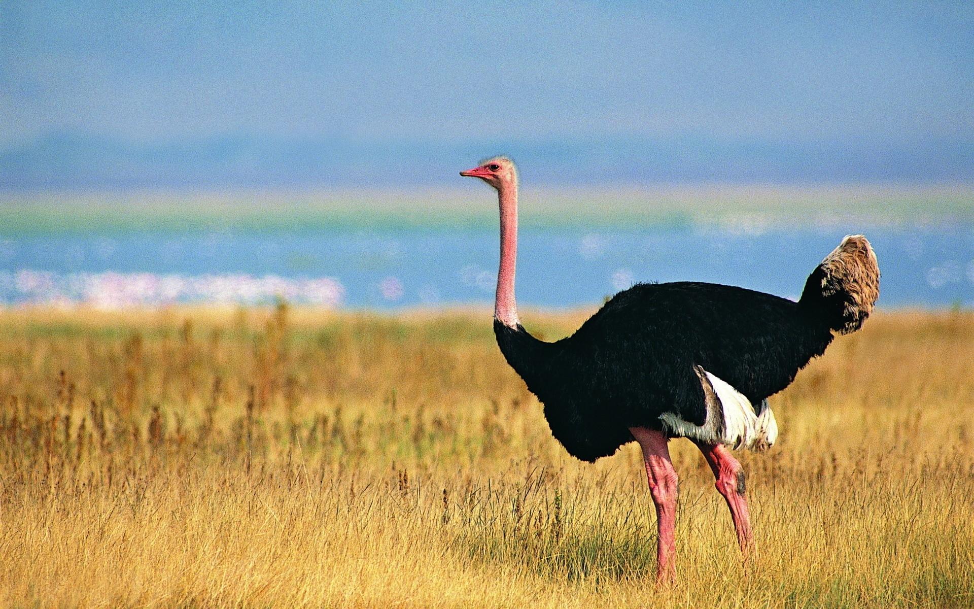 Картинки птицы страусы