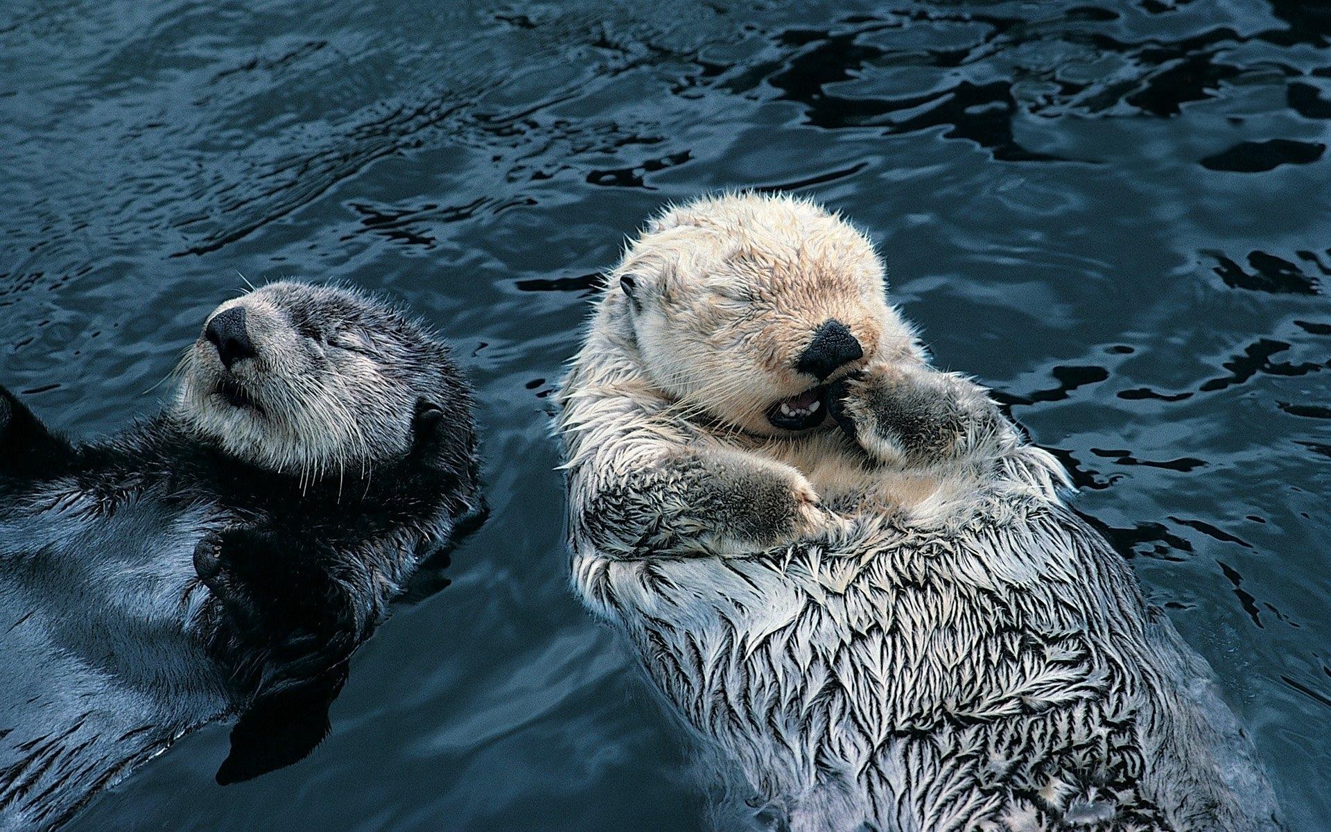 Wallpaper Otter Couple Grass Dirty Water Swim