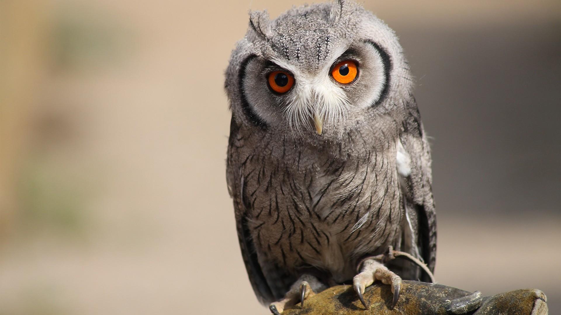 Hintergrundbilder Eule Vogel Raubtier Augen Gefieder 1920x1080