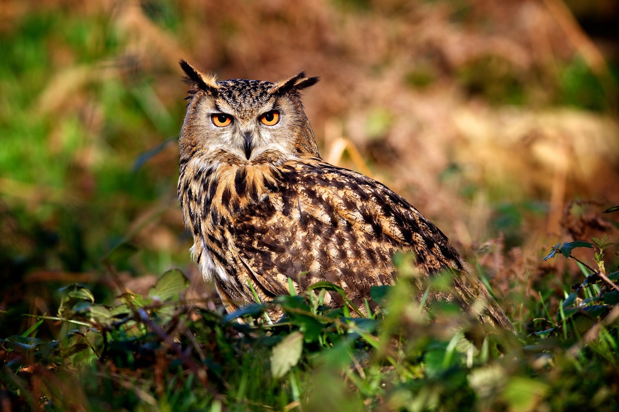 Hintergrundbilder Eule Jagd Raubtier Vogel 2048x1365