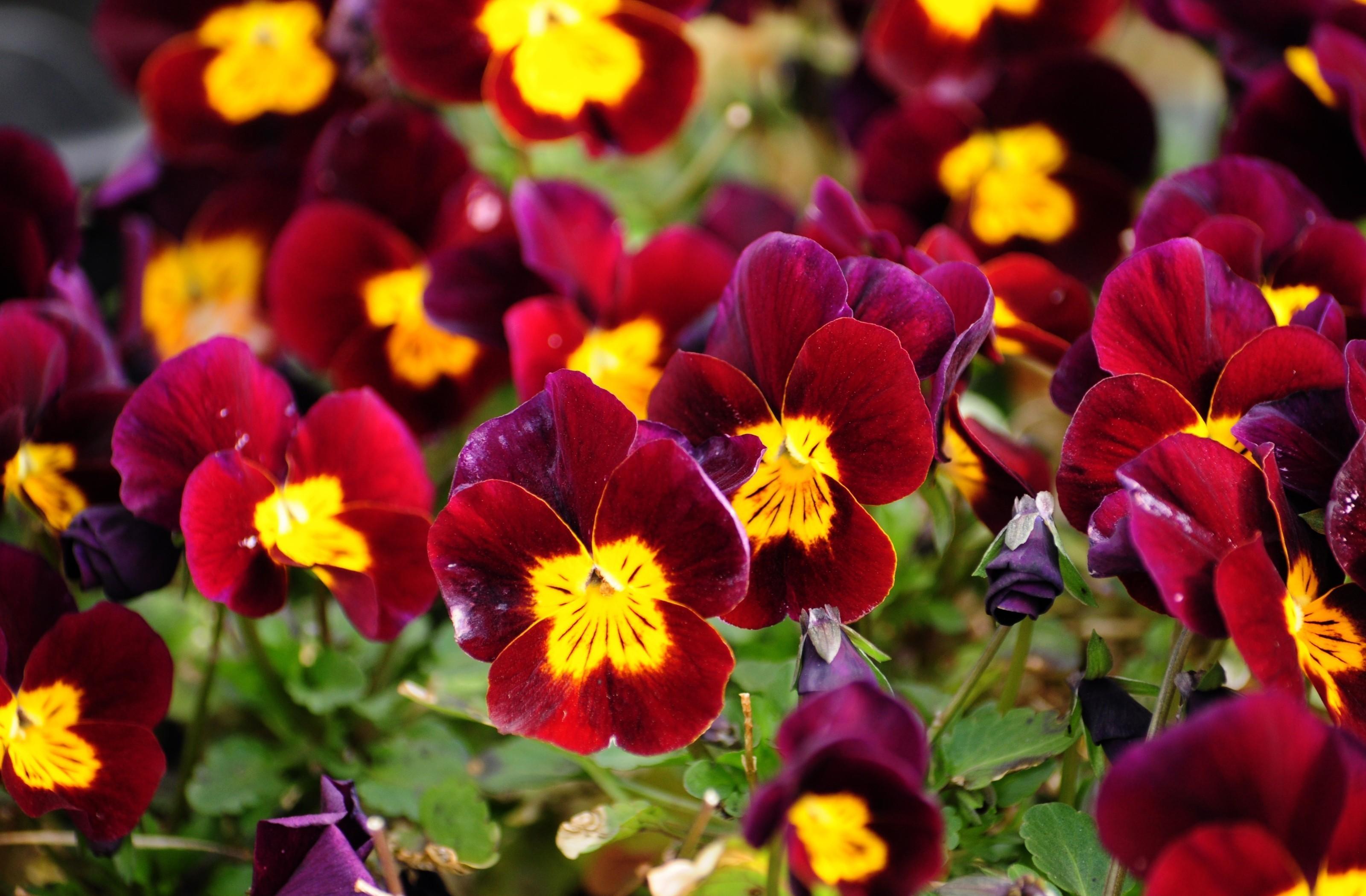 Обои цветы, анютины глазки. Цветы foto 14