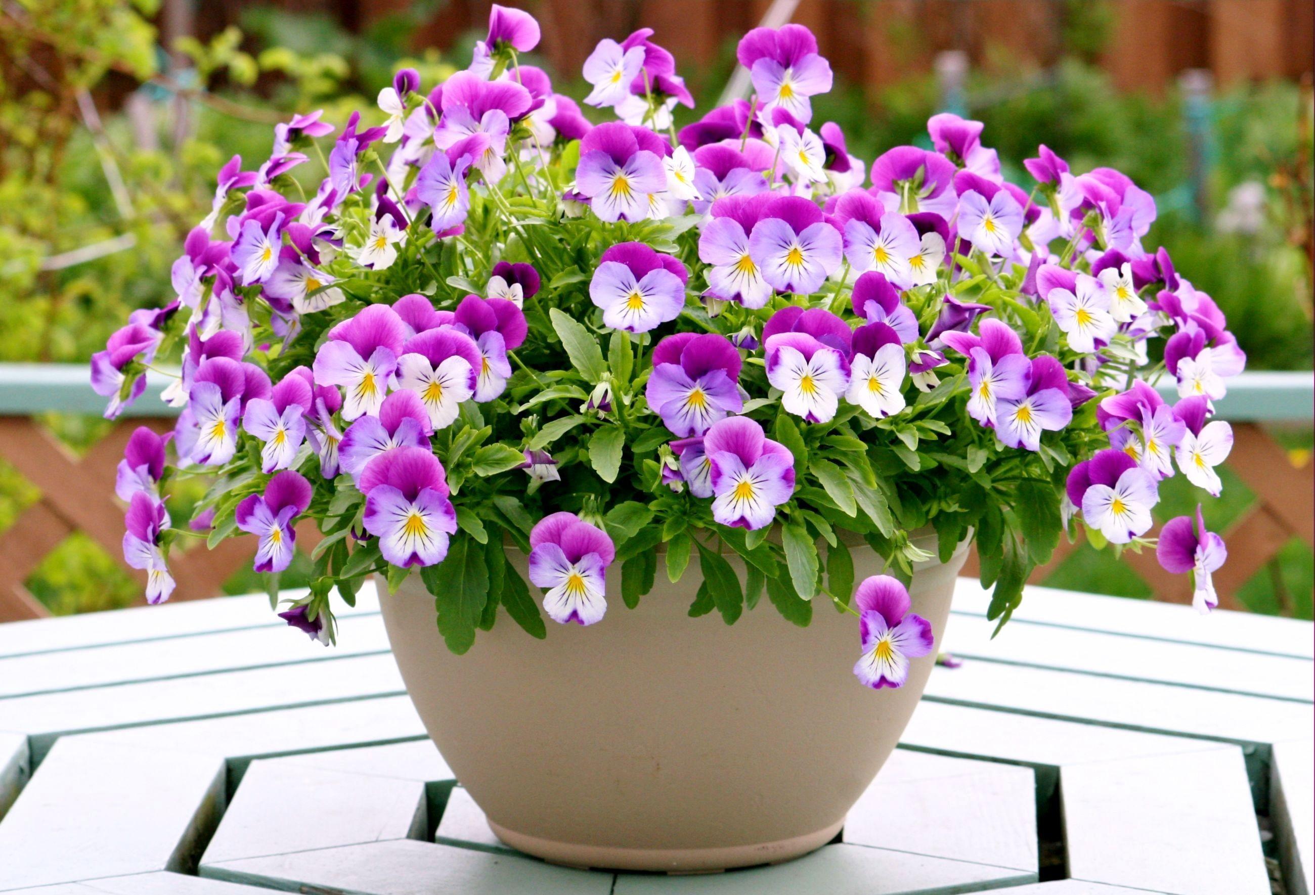 pansies flowers pots table & Wallpaper : pansies flowers pots table 2600x1770 - wallpaperUp ...