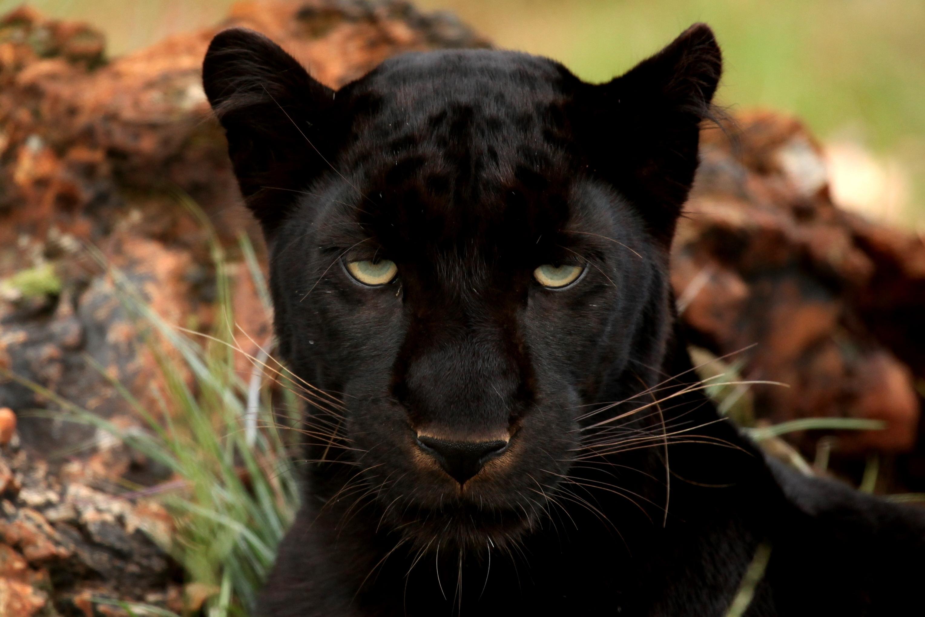 Картинка с изображением пантеры