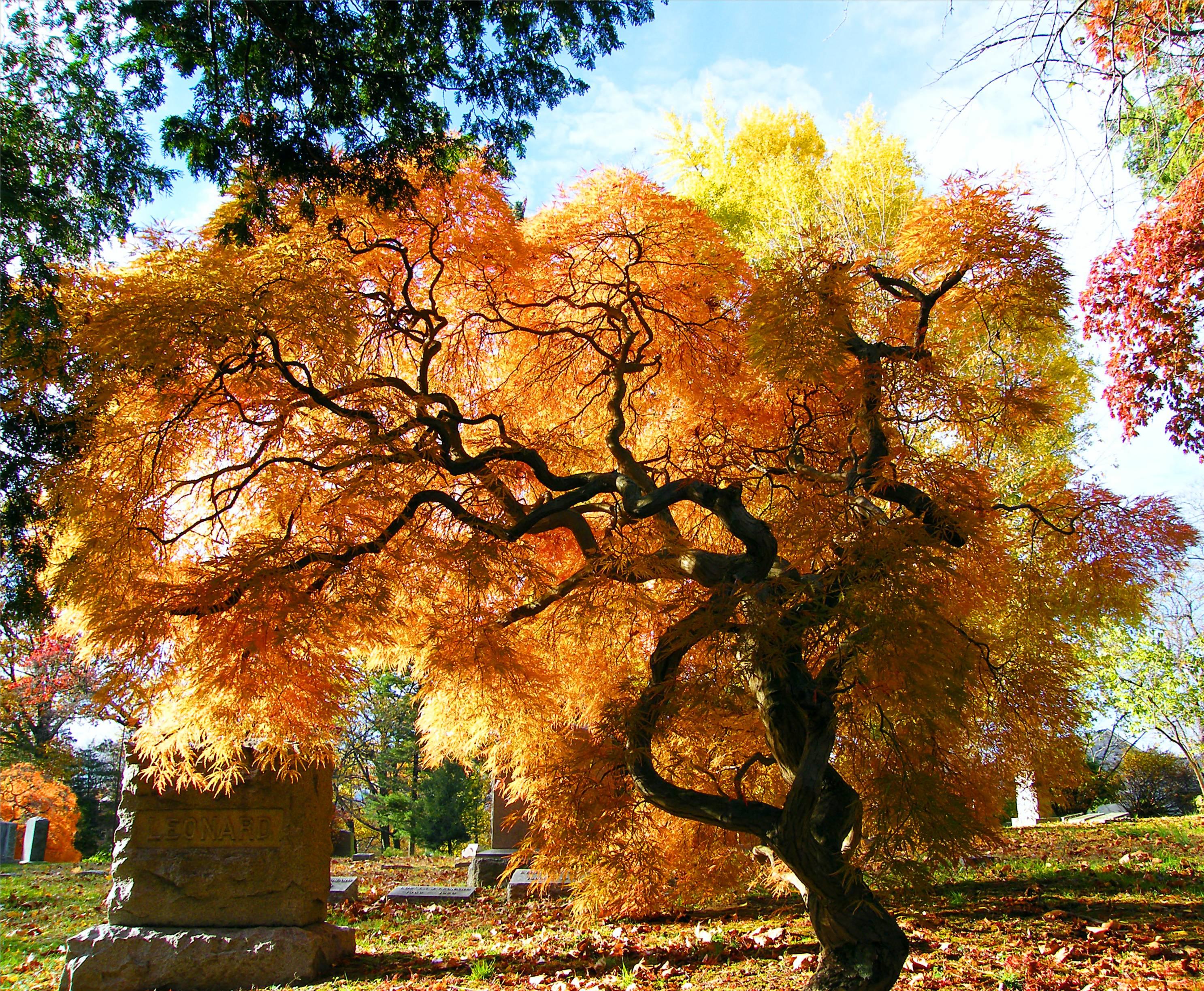 Acero Blu Giapponese sfondi : parco, autunno, alberi, ny, albero, natura, colori