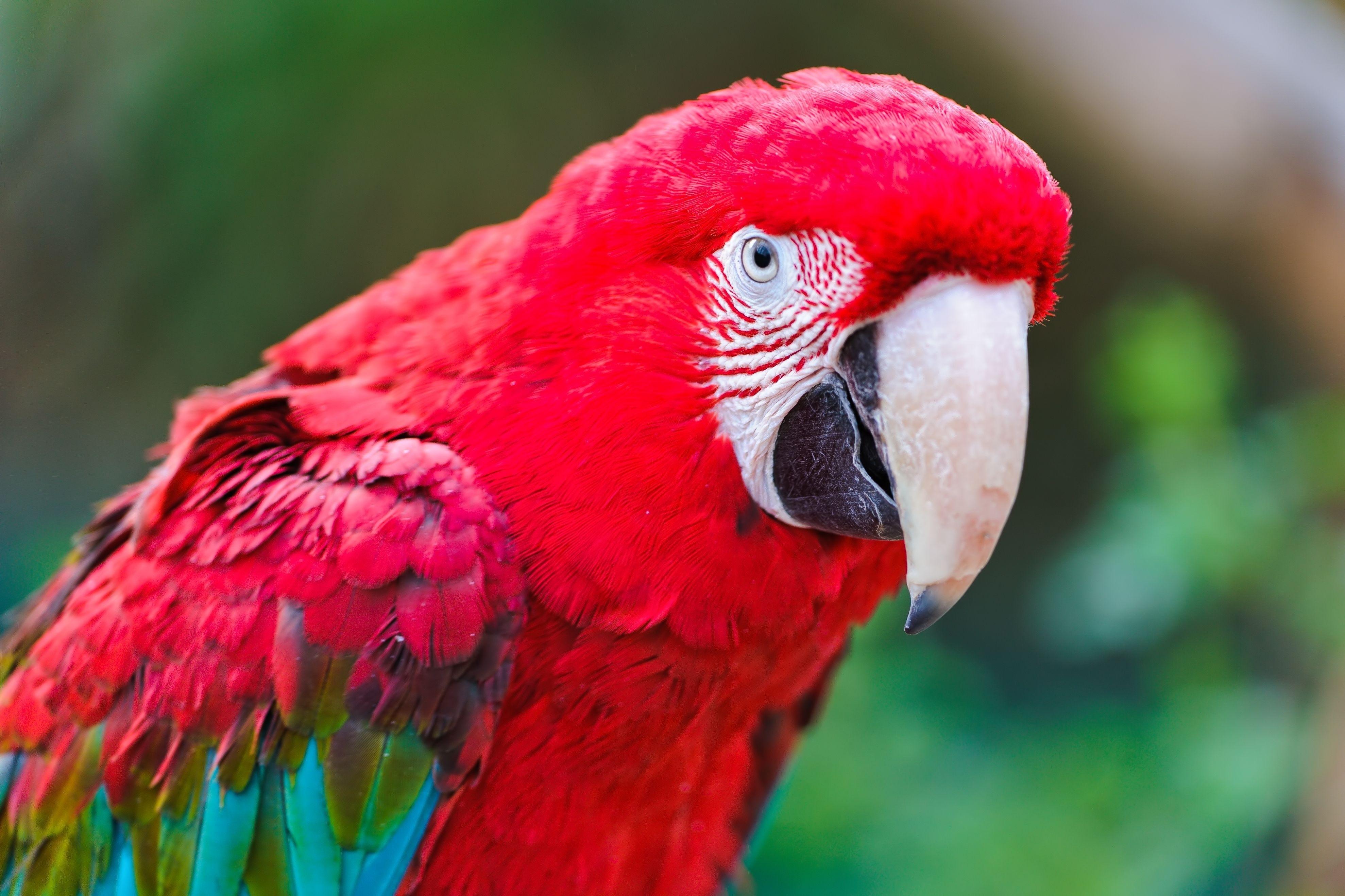 Wallpaper : parrot, beak, color, red 3956x2637 ...