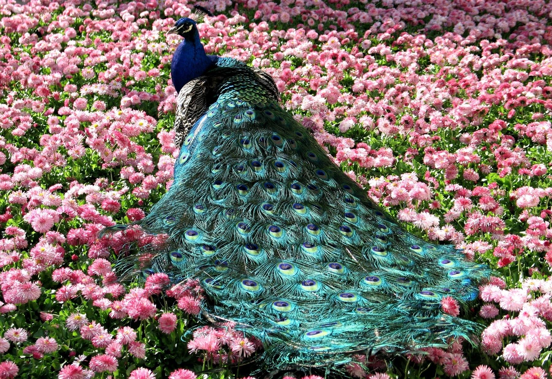 Wallpaper Peacock Tail Beautiful Grass Flowers 1800x1235