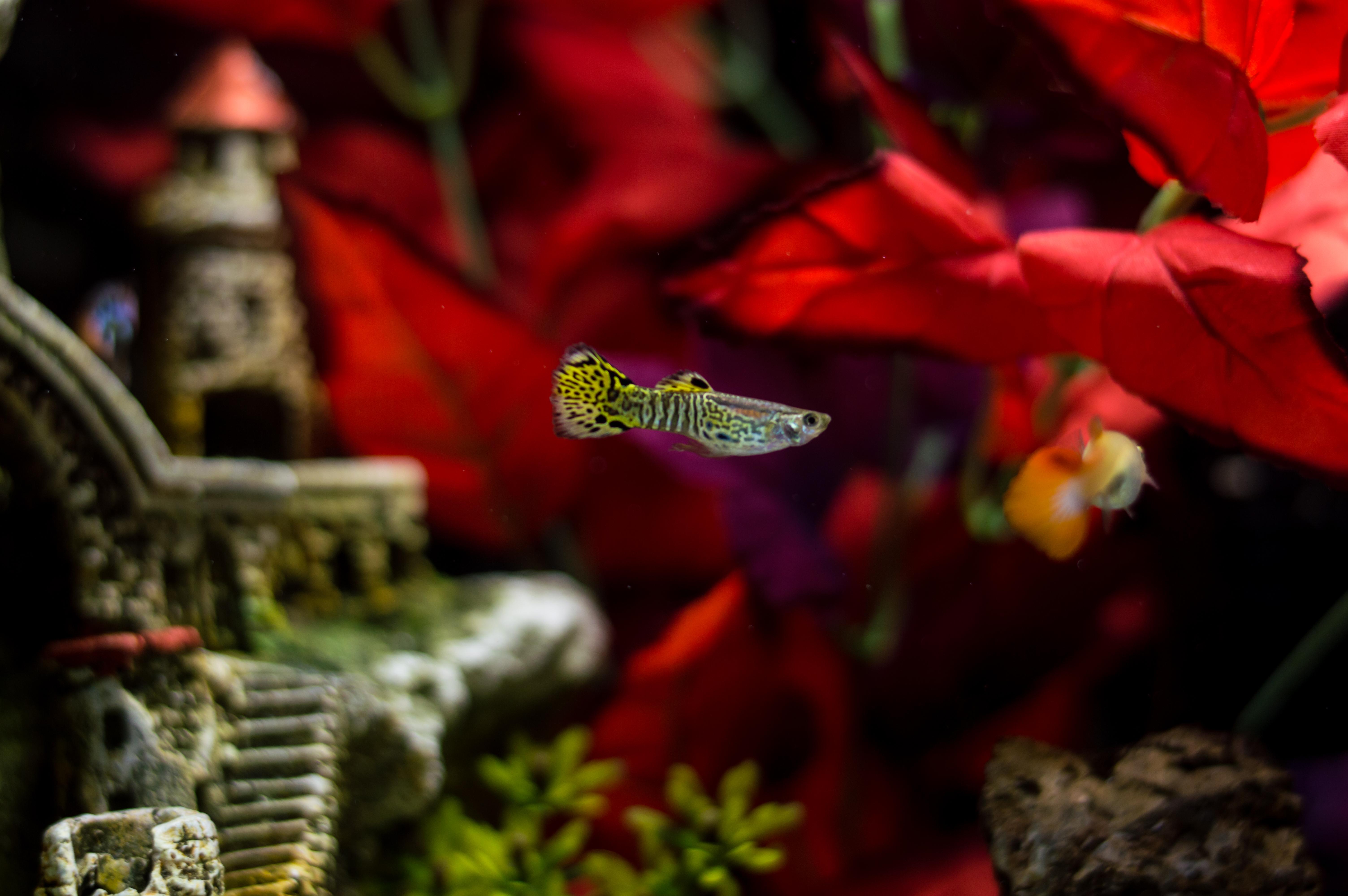 Wallpaper : pet, fish, water, beautiful, animal, 50mm, aquarium ...