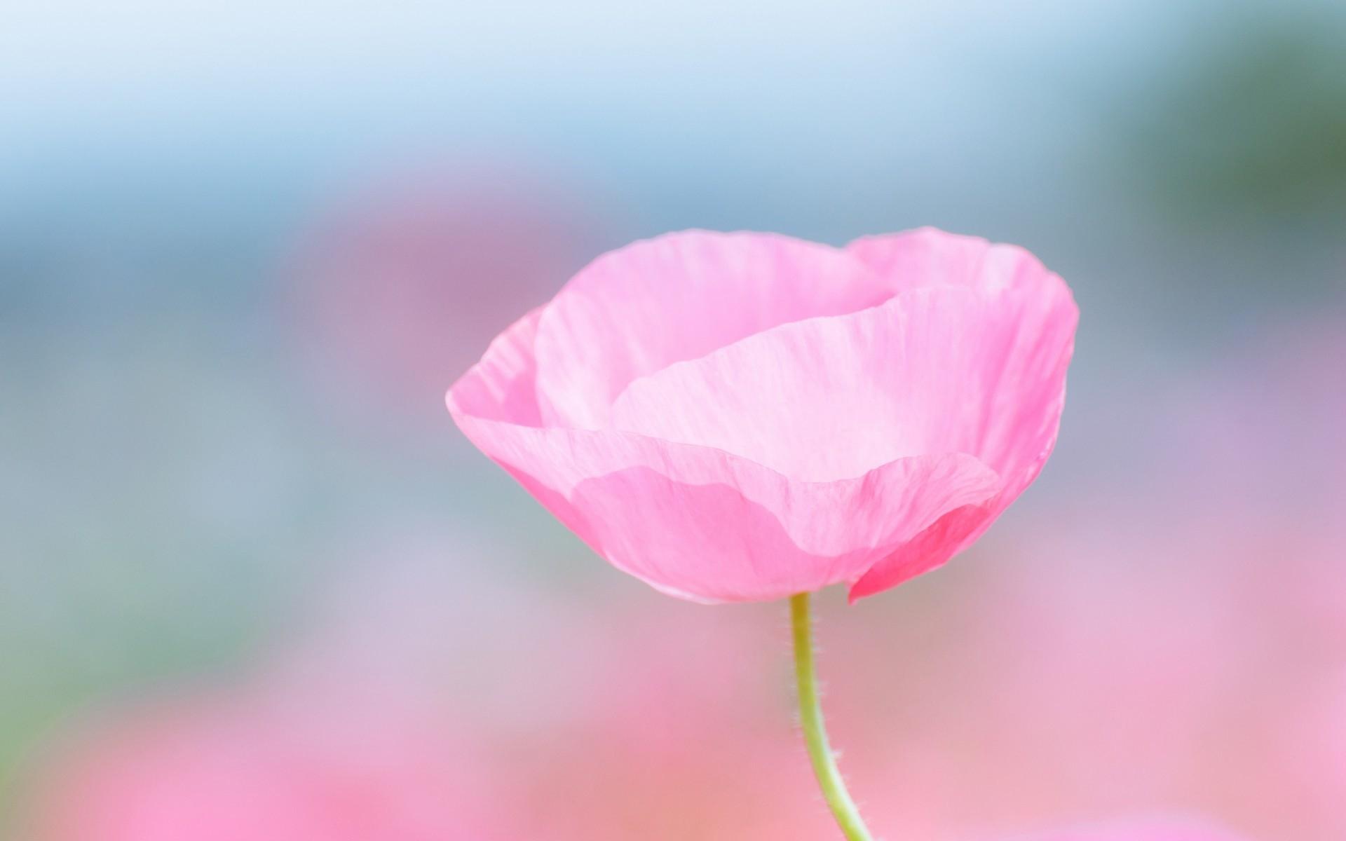 Wallpaper Petals Blossom Pink Flower Poppy Flora Bud Petal