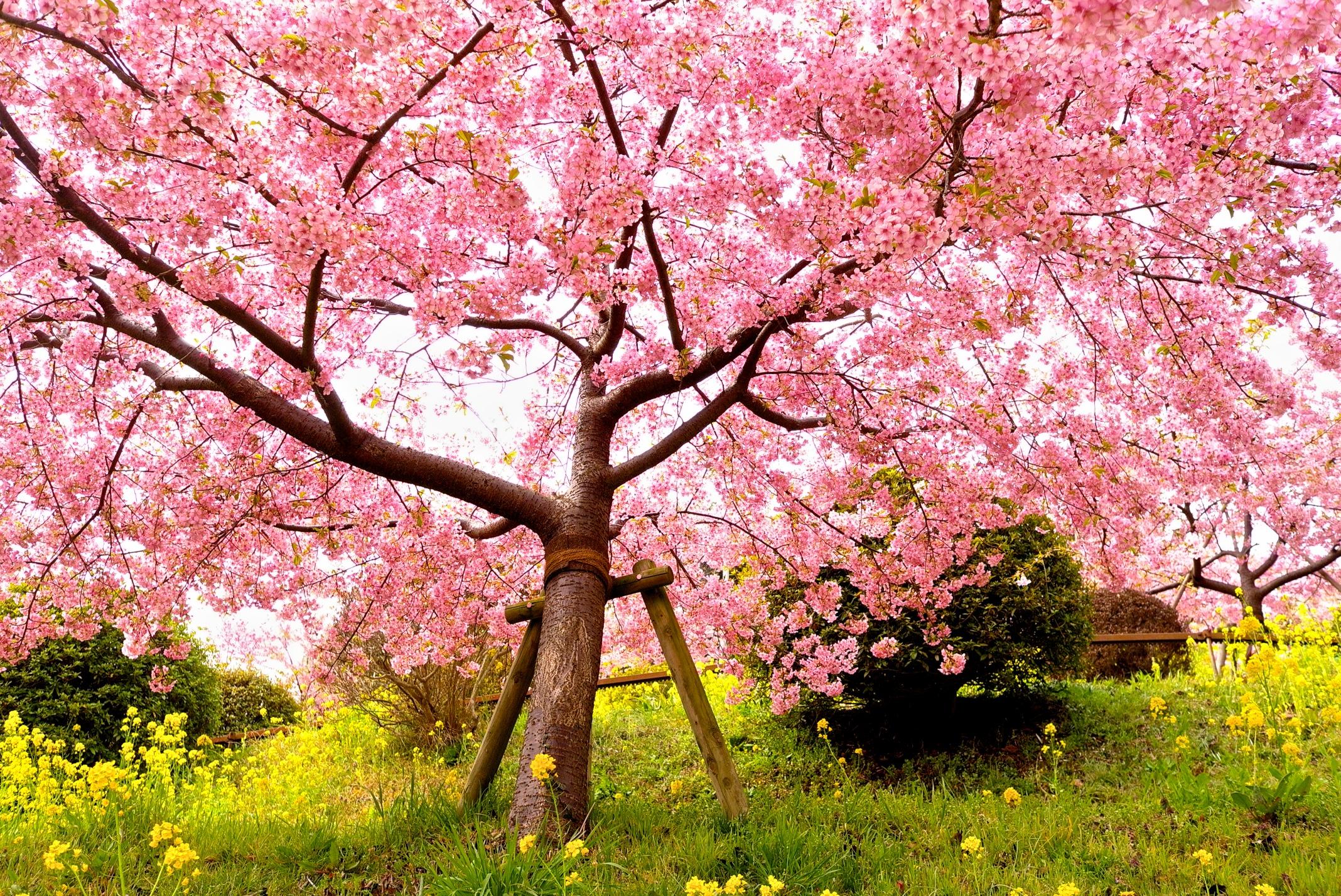 Wallpaper Berwarna Merah Muda Mekar Musim Semi Pohon Bunga