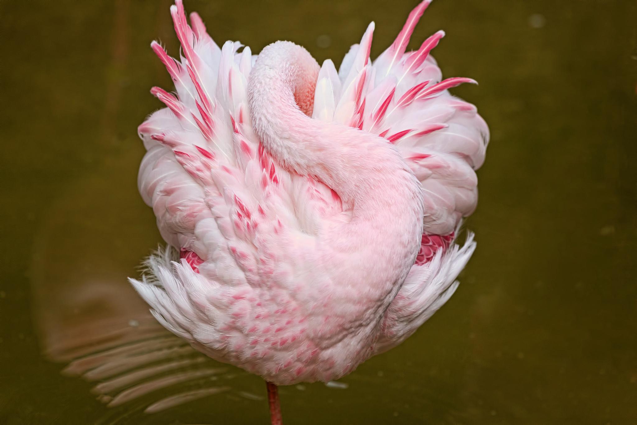 Wallpaper Pink Flamingos Beak Sleep Flower Plant Flamingo