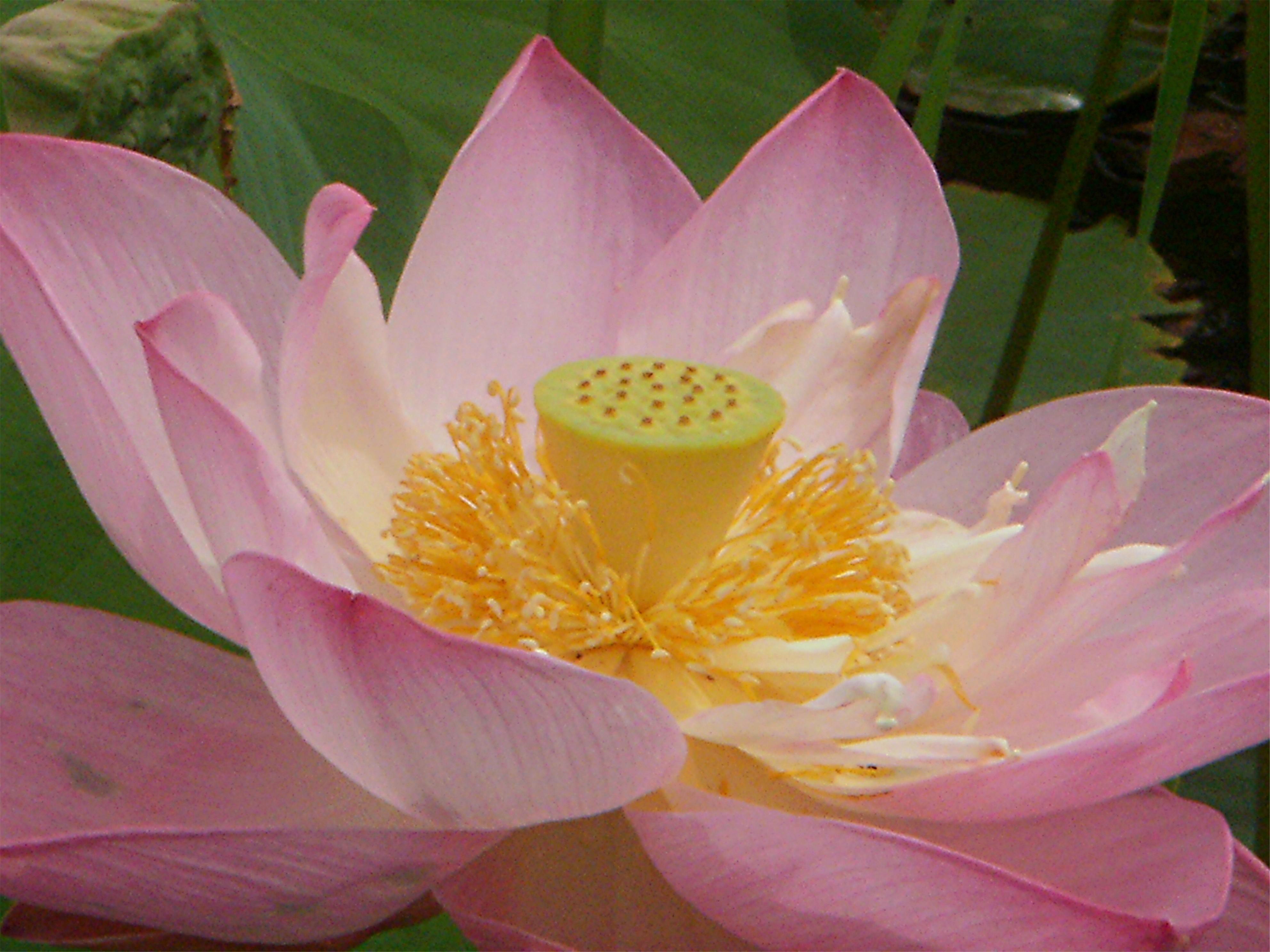 Fondos De Pantalla Rosado Flor Asiático Lirio De Agua Loto