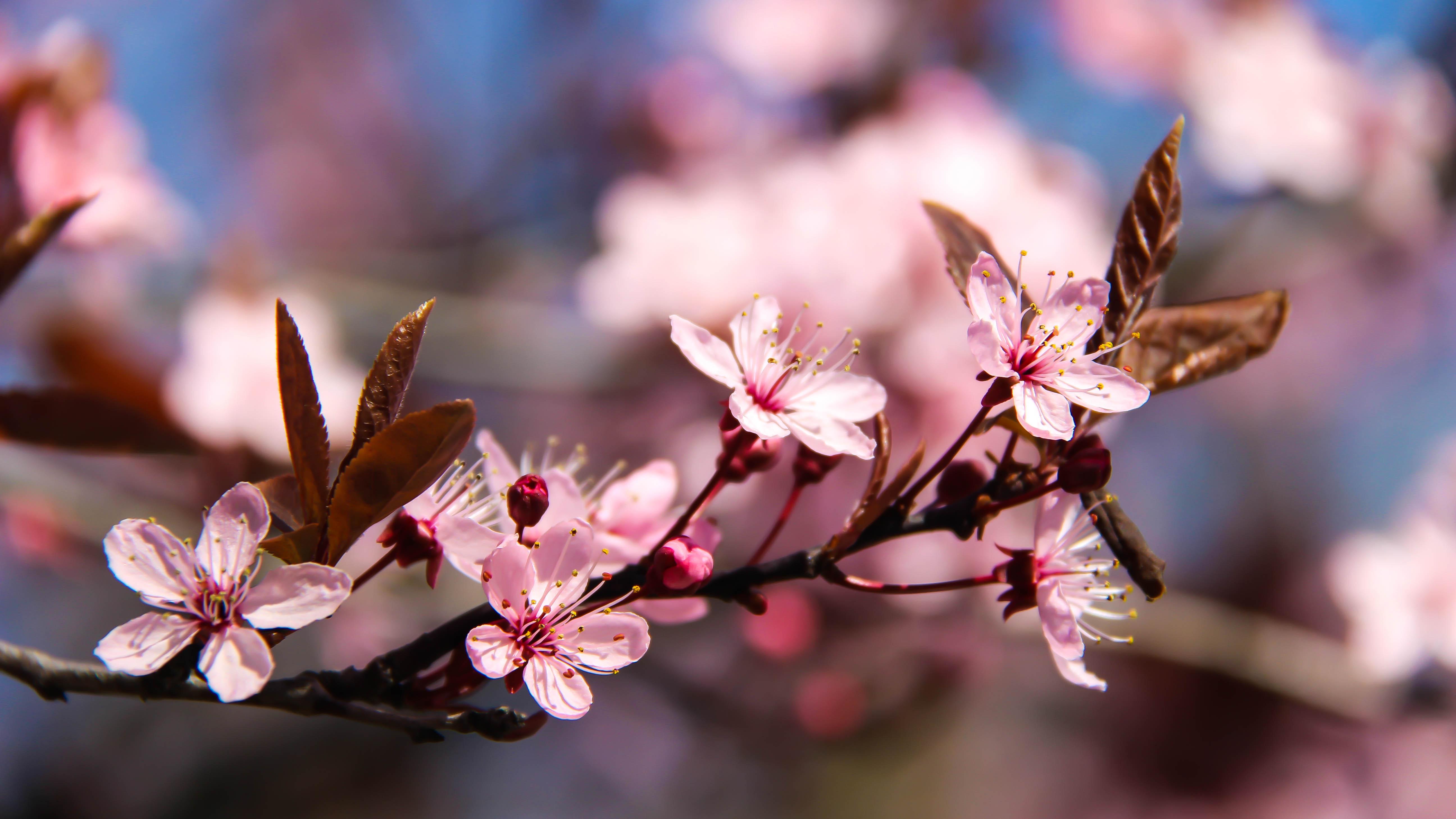Sfondi Rosa Fiore Di Ciliegio Blomma K Rsb Rsblom Tumblr