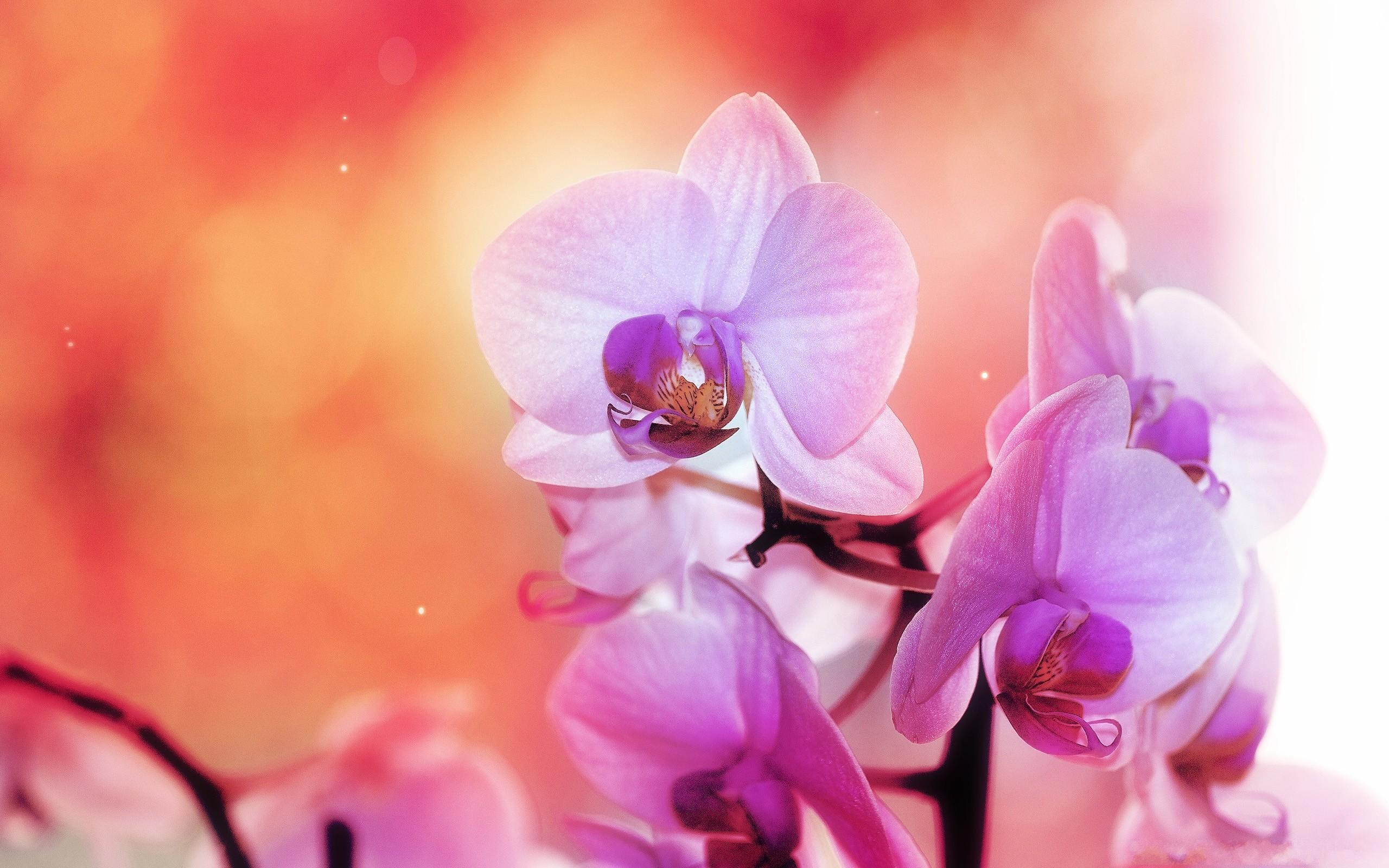 Fond D Ecran Fleurs Roses Orchidees La Photographie