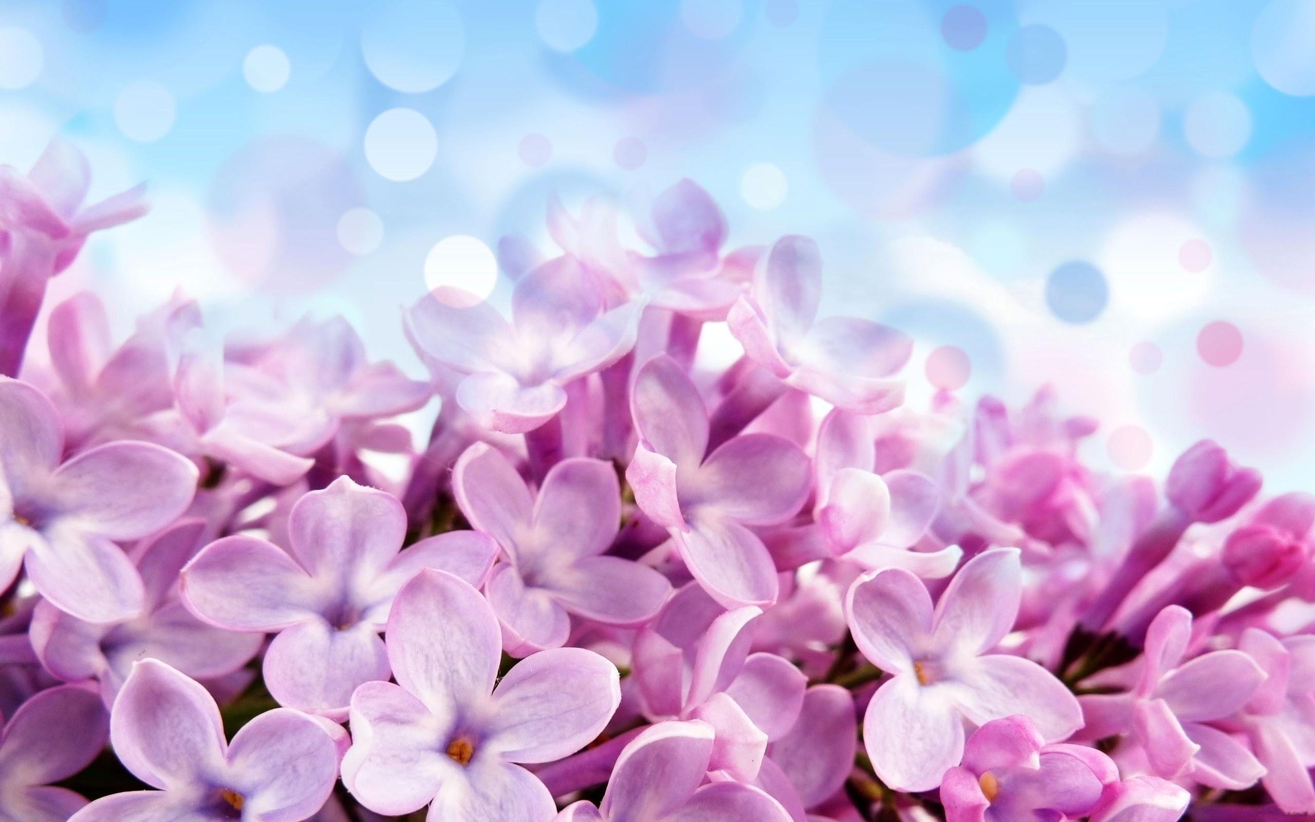 Wall Paper Wide Pink Rose Colours Soft Nature Flower: デスクトップ壁紙 : ピンクの花, 紫の, ライラック, 工場, フローラ, 花弁, 陸上植物, 開花植物, マクロ