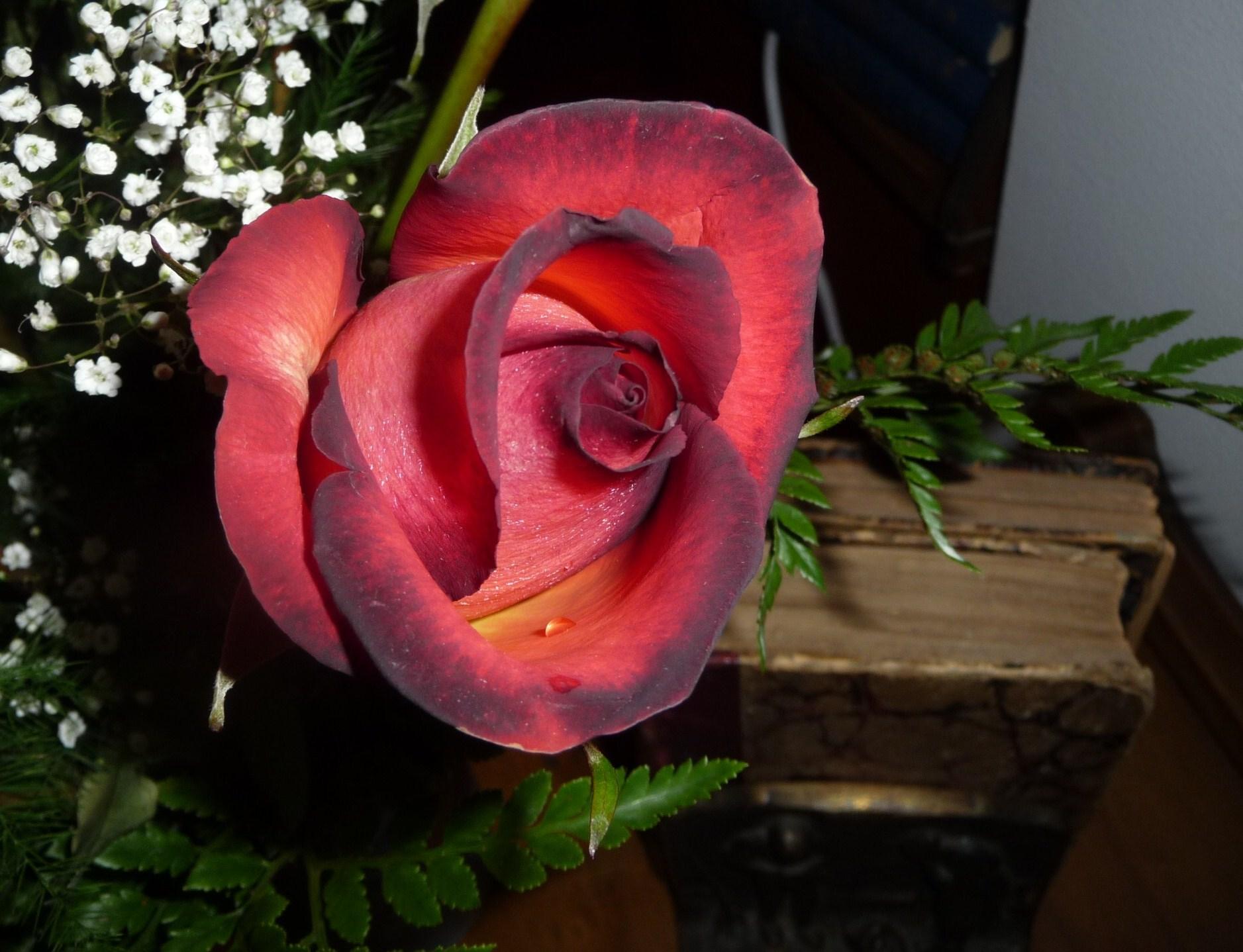 Sfondi Rosa Fiori Rosso Fiore Colore Verde Natura Fleur