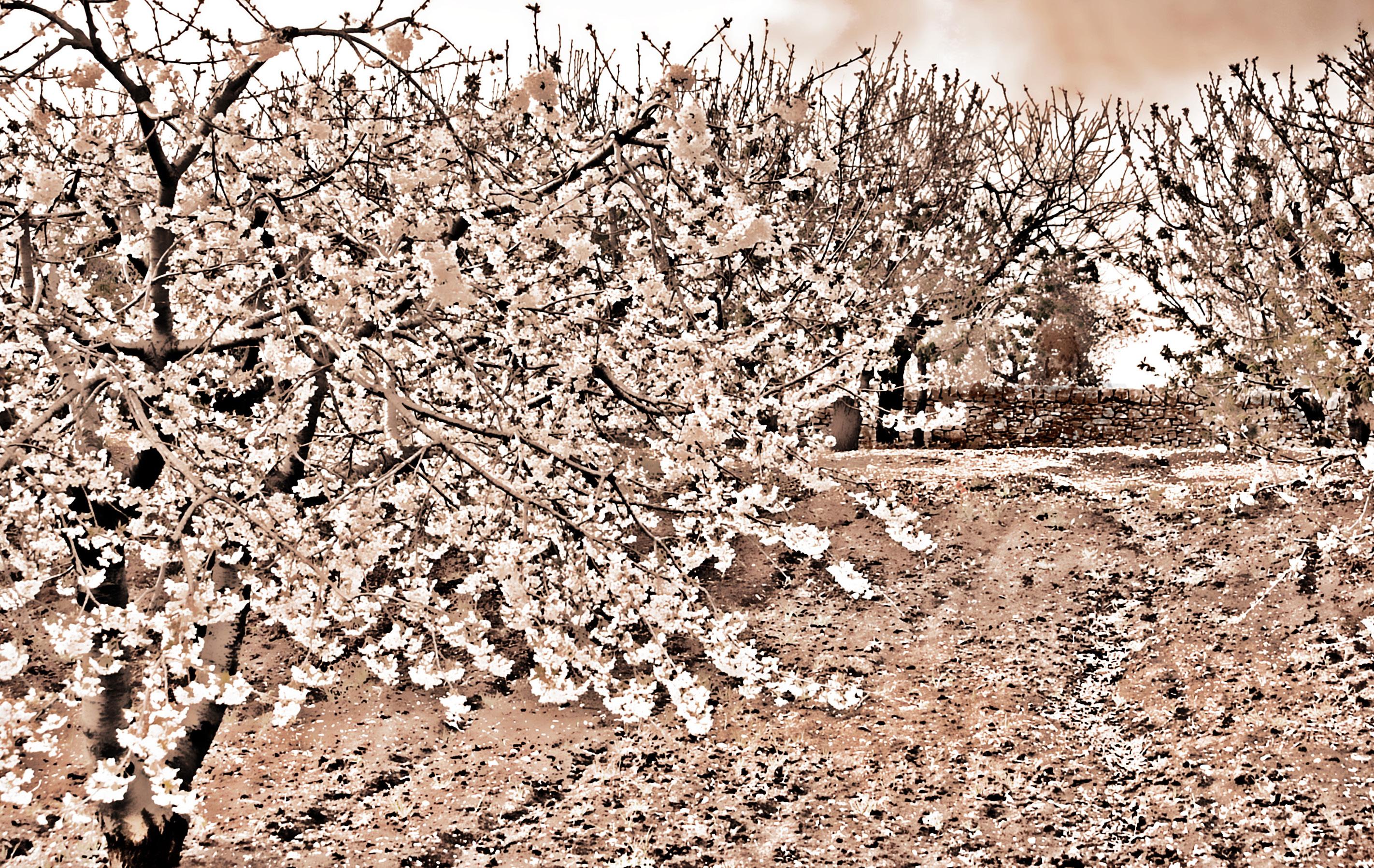 pink flowers tree spring cherryblossoms puglia springtime Alberobello apulia