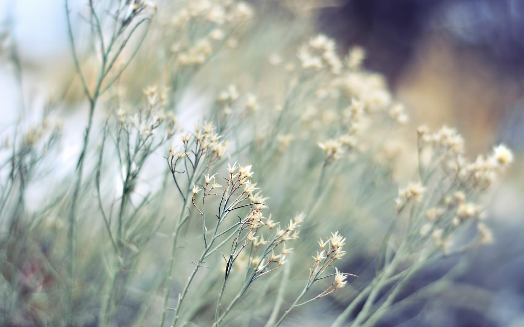 Wallpaper Plants Bushes Herbs Dry Flower Gray