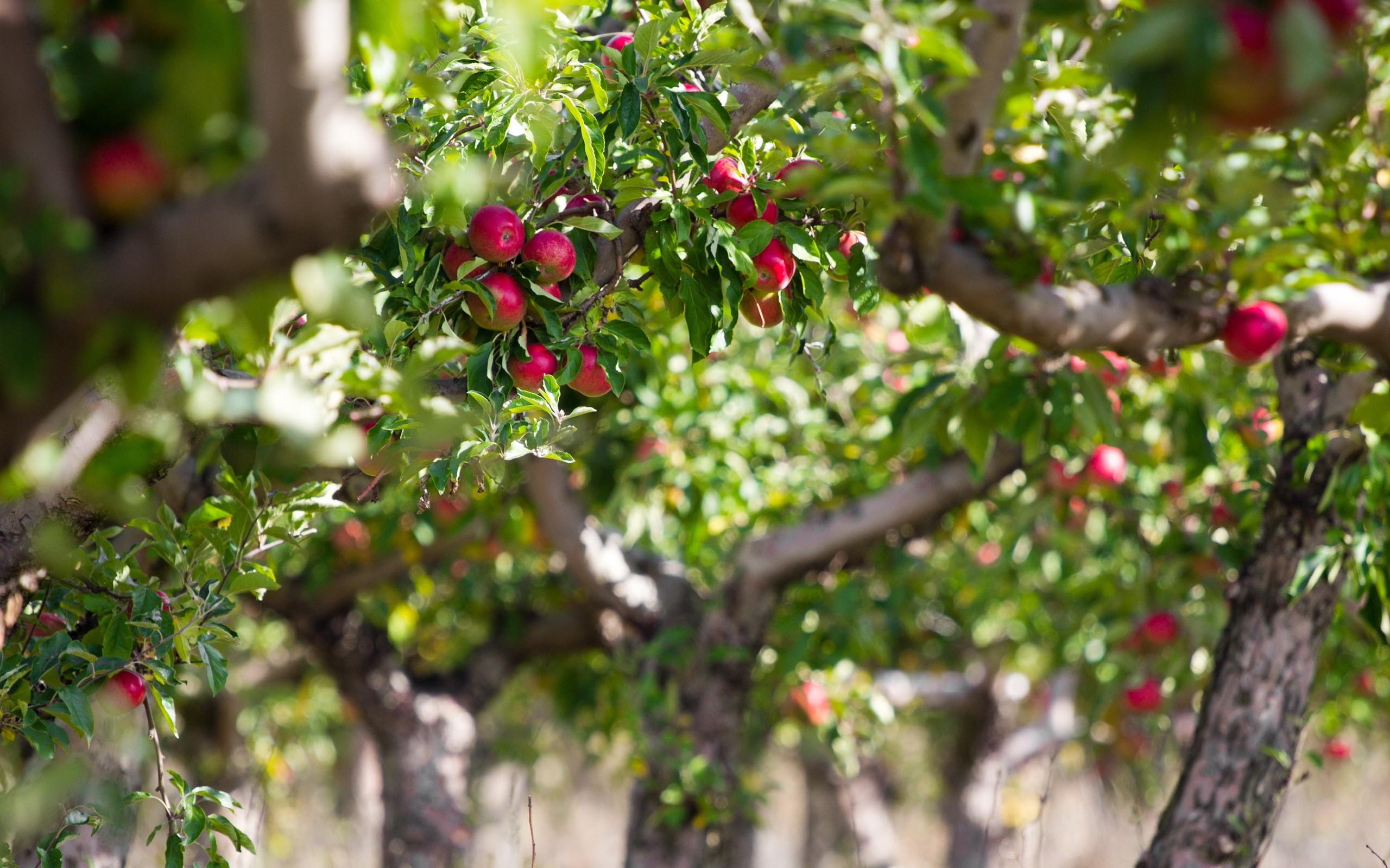 Piante Da Frutto Sempreverdi sfondi : piante, ramo, mele, primavera, sempreverde