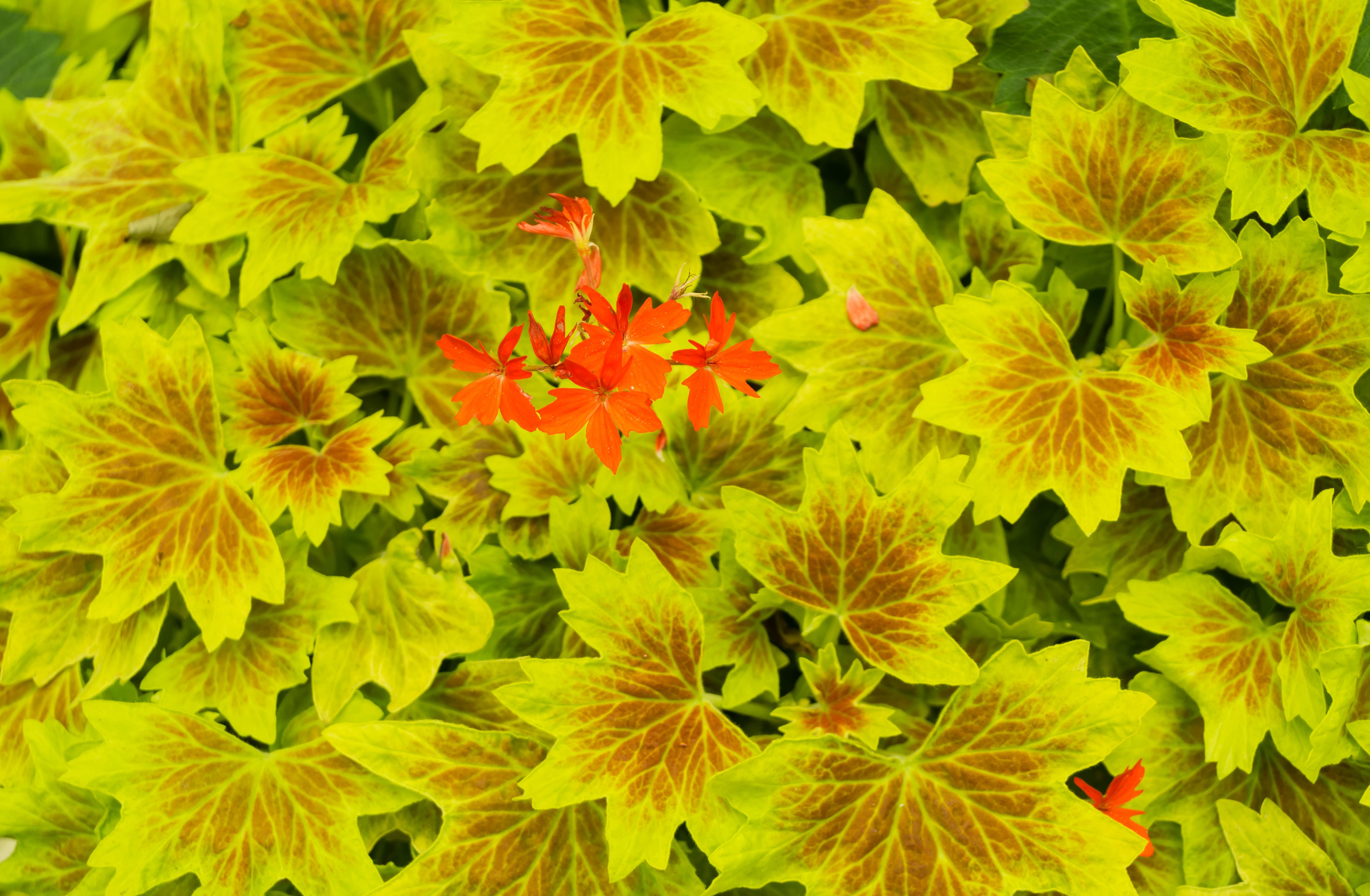 Wallpaper Plants Flowers Foliage Redflowers Yellow Red