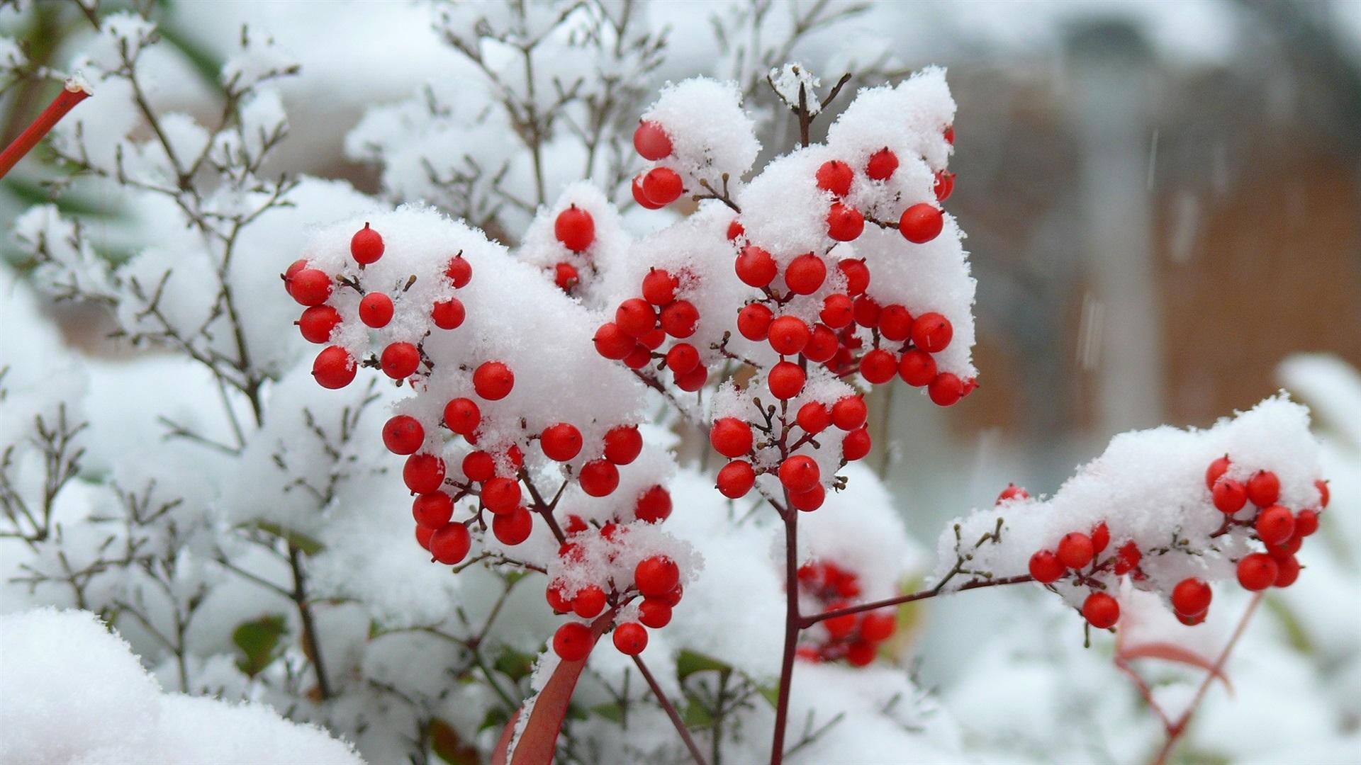 Ягоды на снегу картинки
