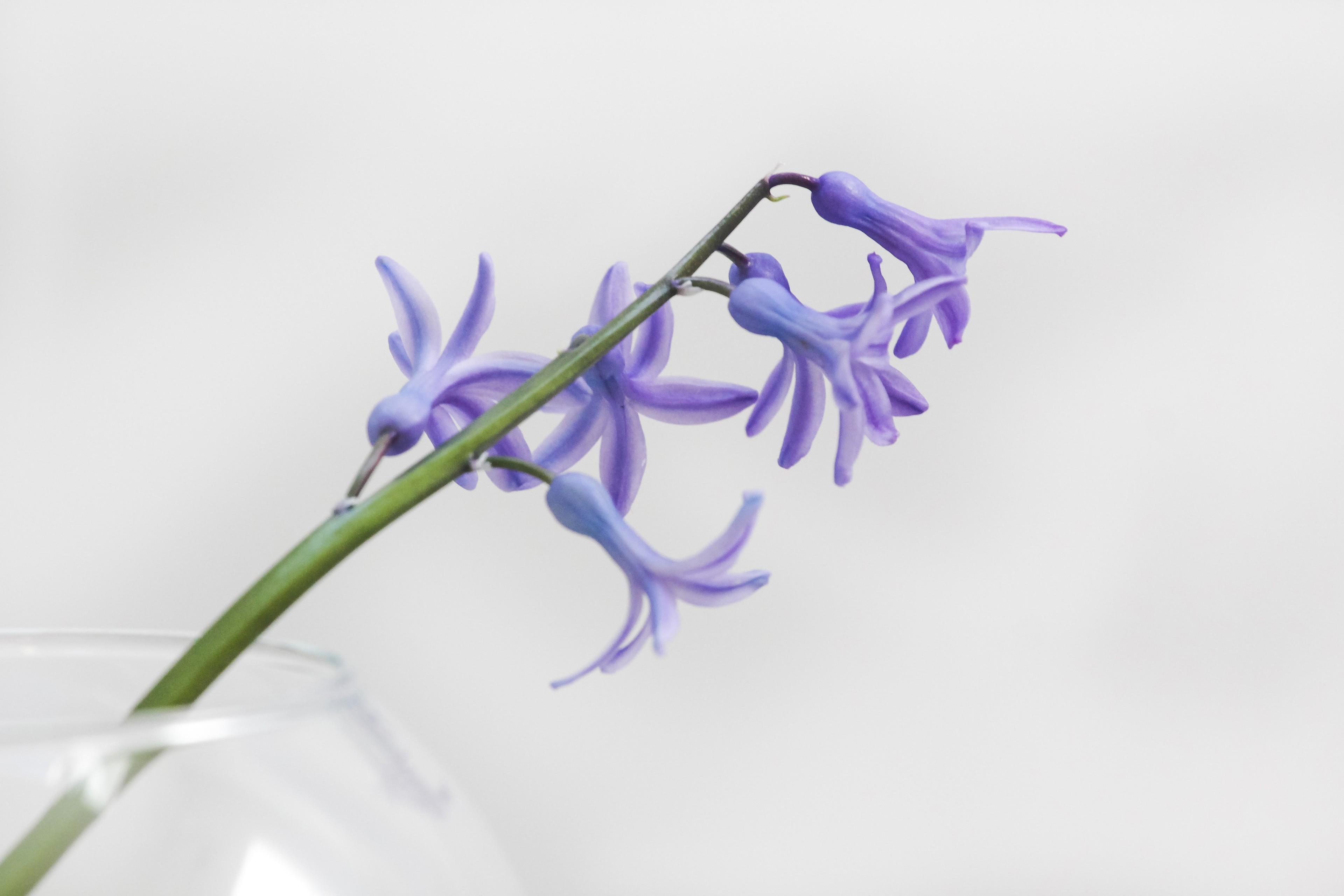 Обои фиолетовые цветы на белом фоне