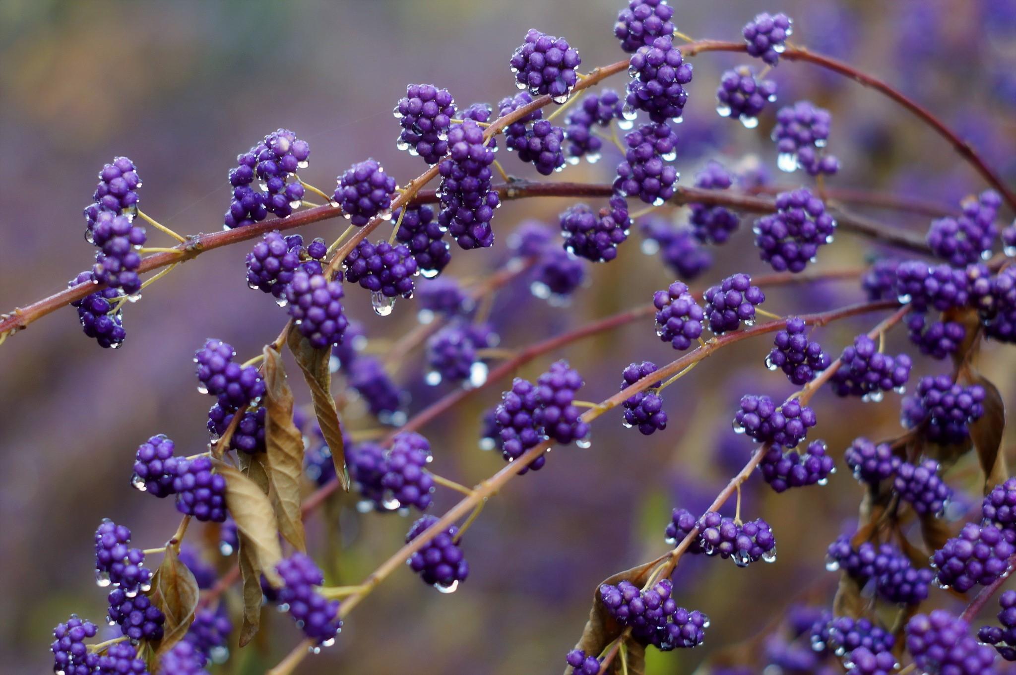 hintergrundbilder pflanzen lila makro lavendel. Black Bedroom Furniture Sets. Home Design Ideas