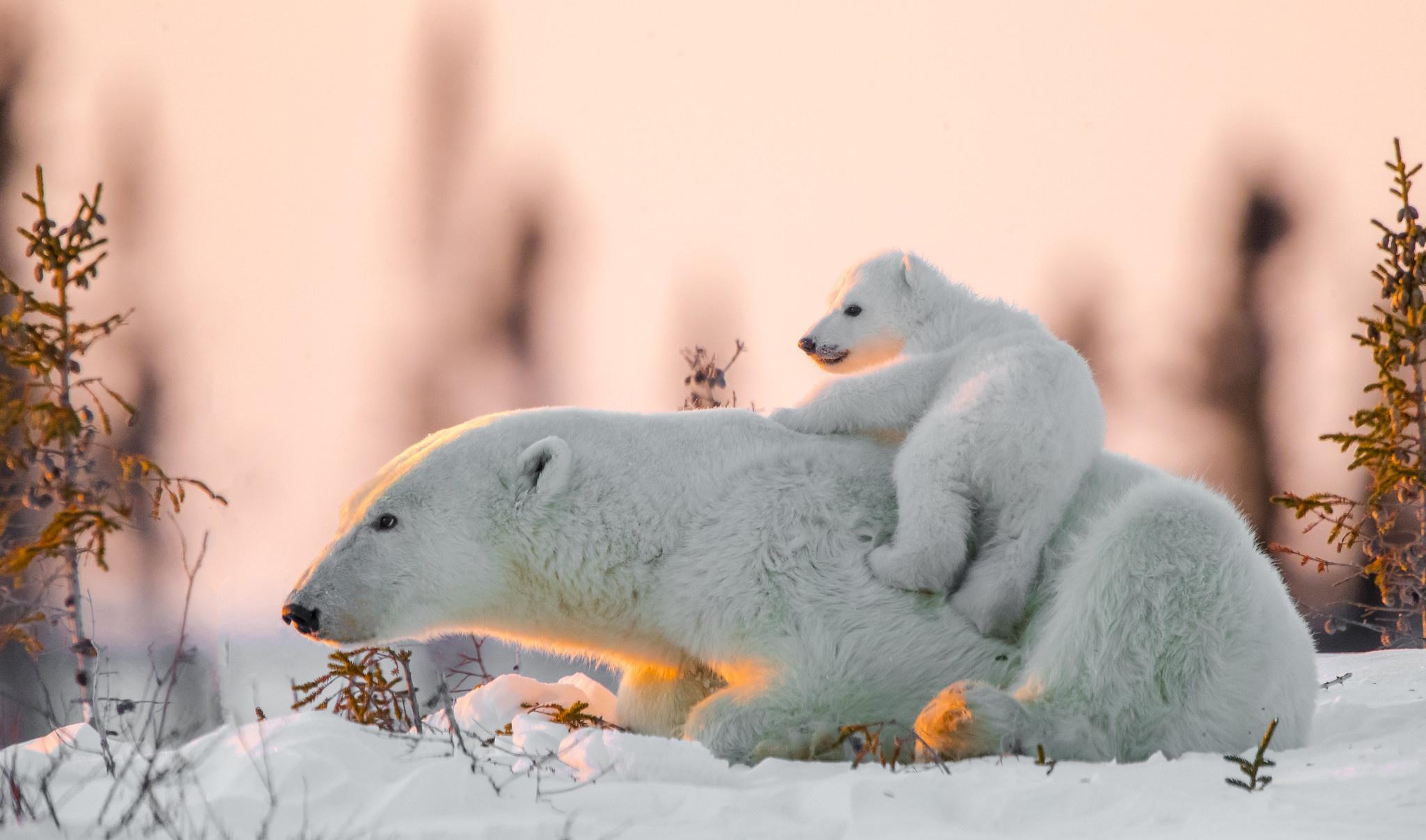 デスクトップ壁紙 ホッキョクグマ 哺乳動物 赤ちゃん 雪 クマ