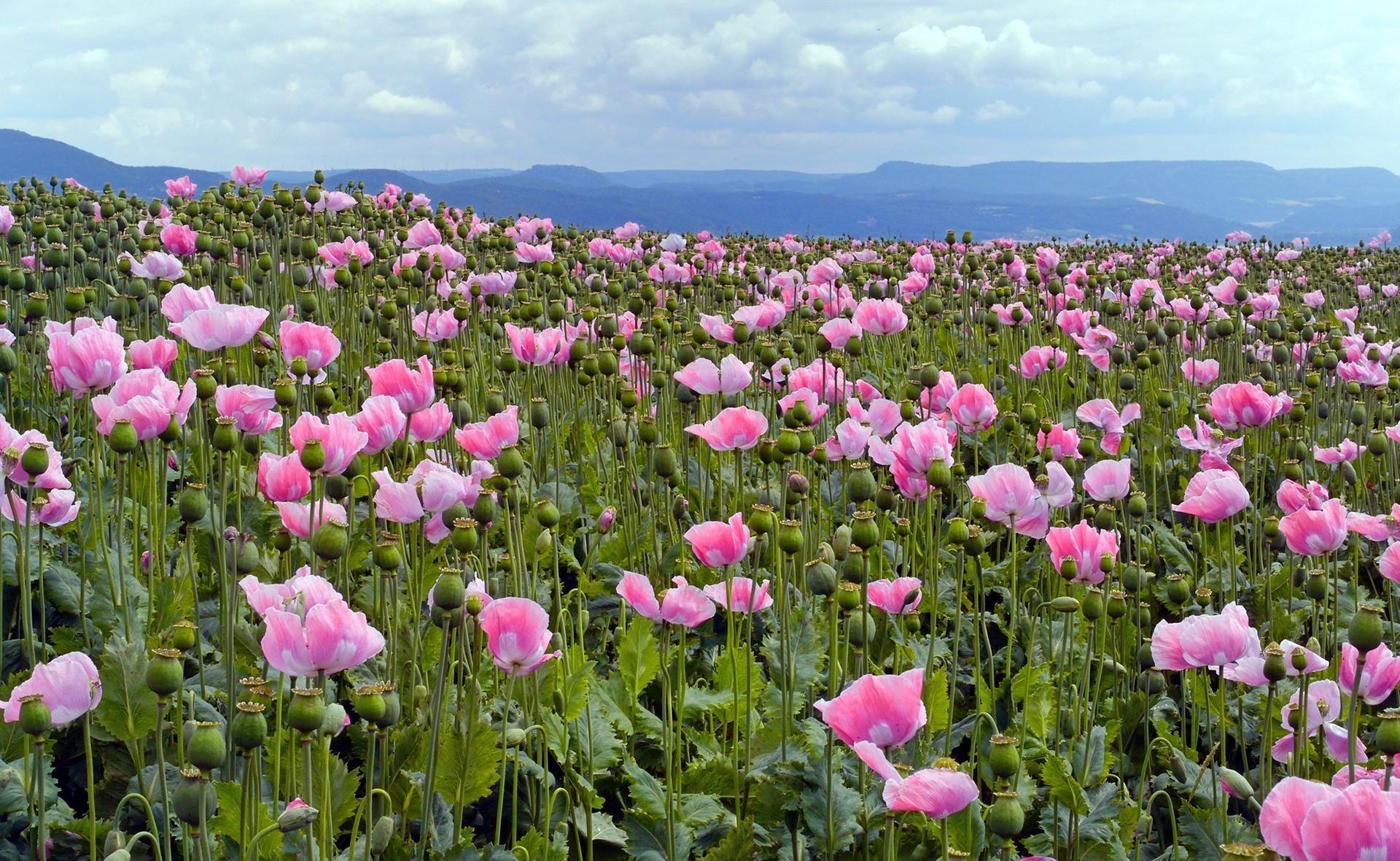 Wallpaper Poppies Pink Meadow Sky Horizon 1920x1180