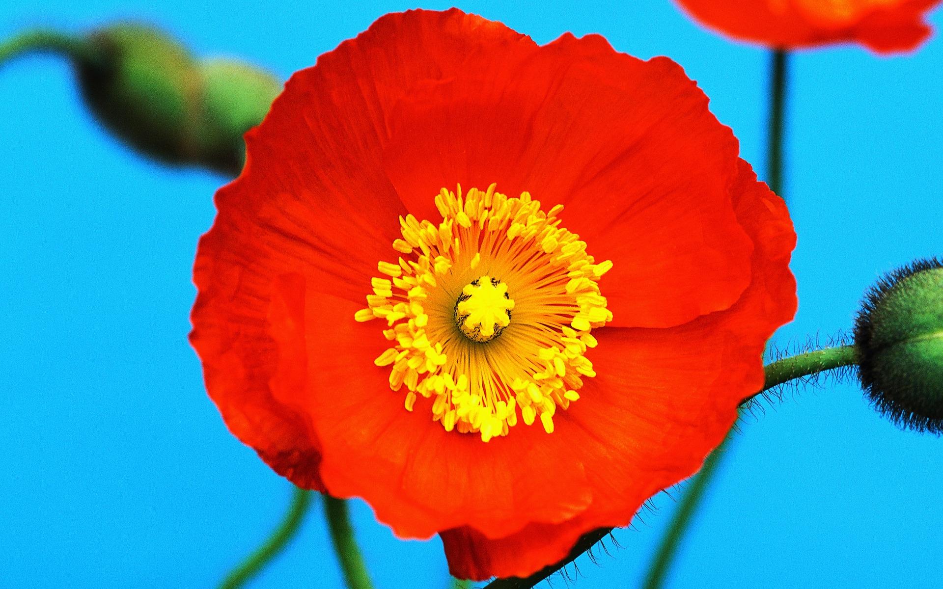 Wallpaper Poppy Red Yellow Flower Pollen 1920x1200