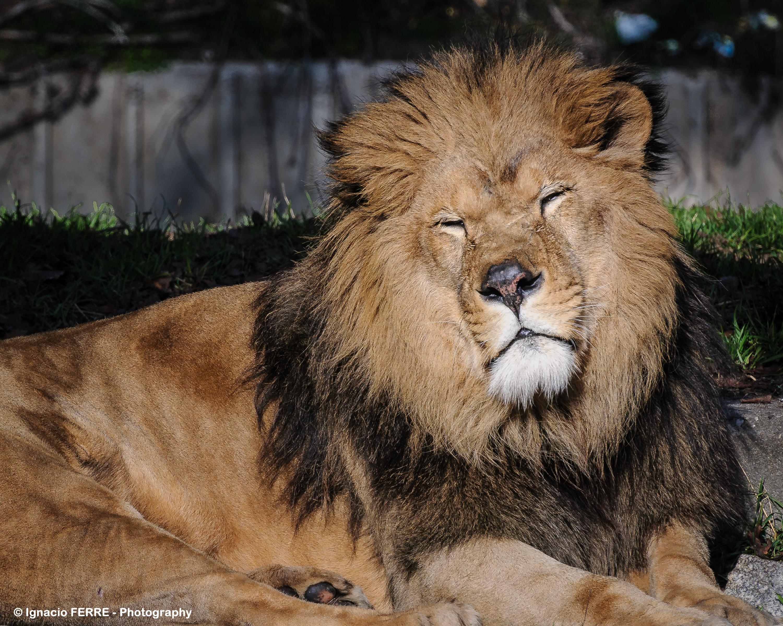Wallpaper Portrait Wildlife Spain Nikon Fur Big Cats Zoo